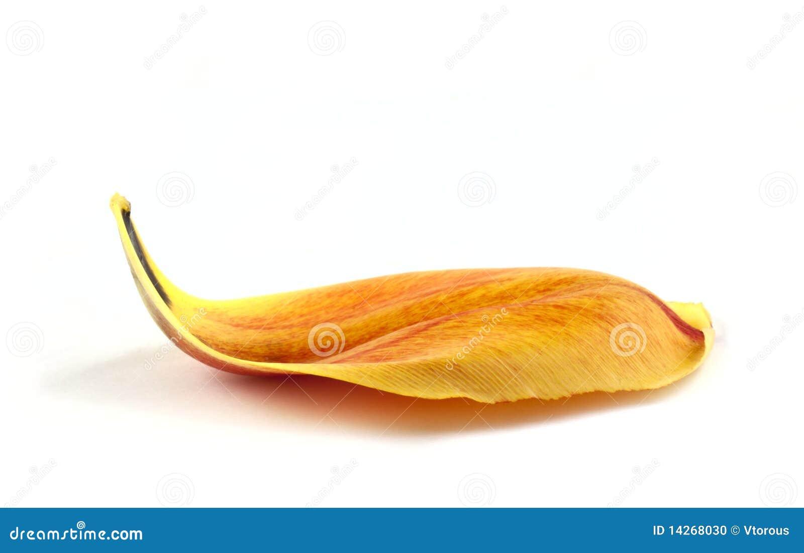 τουλίπα πετάλων κίτρινη