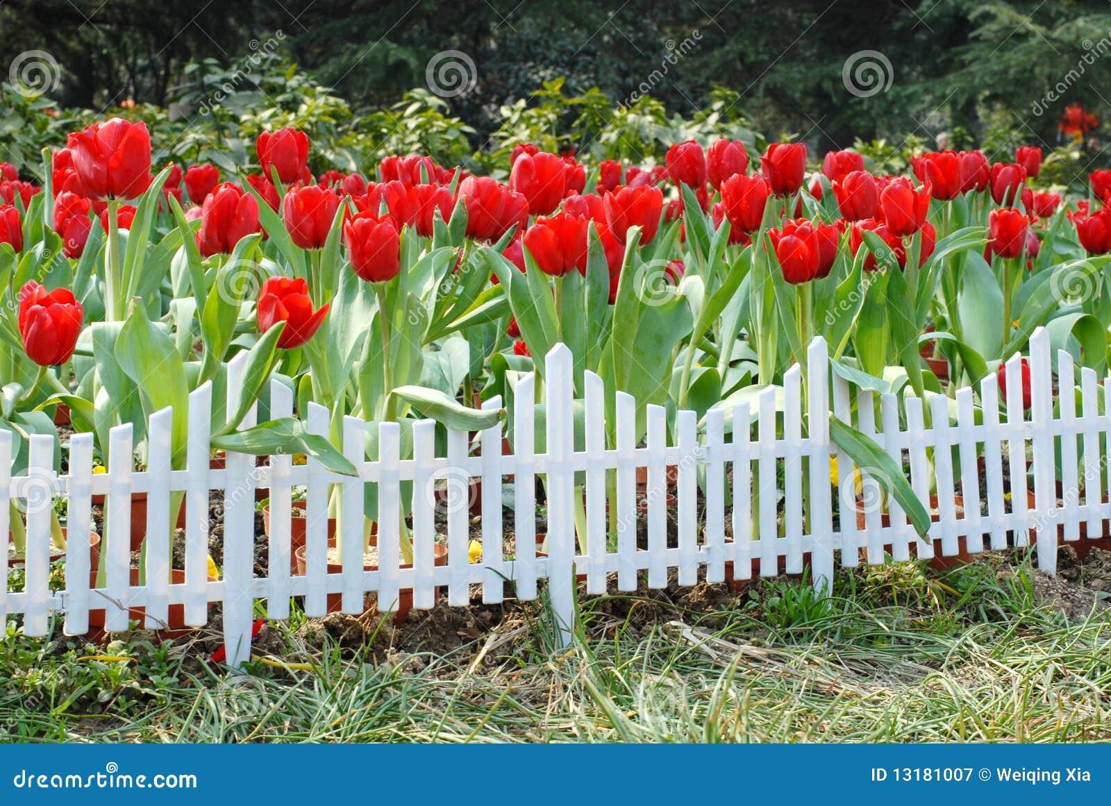 τουλίπες κήπων