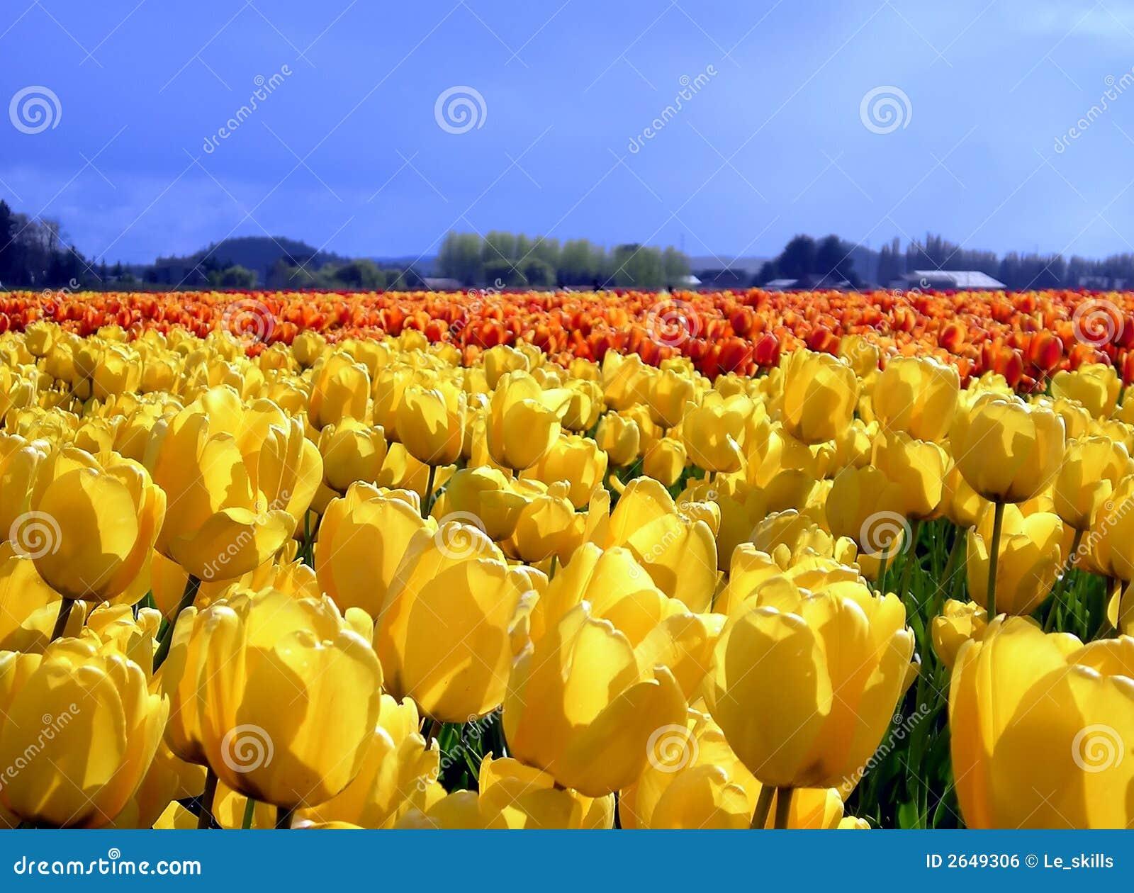 τουλίπες κίτρινες
