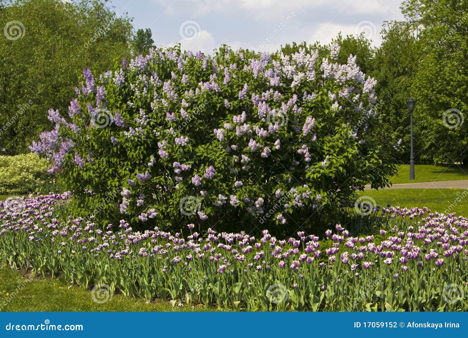 τουλίπες lilas κήπων