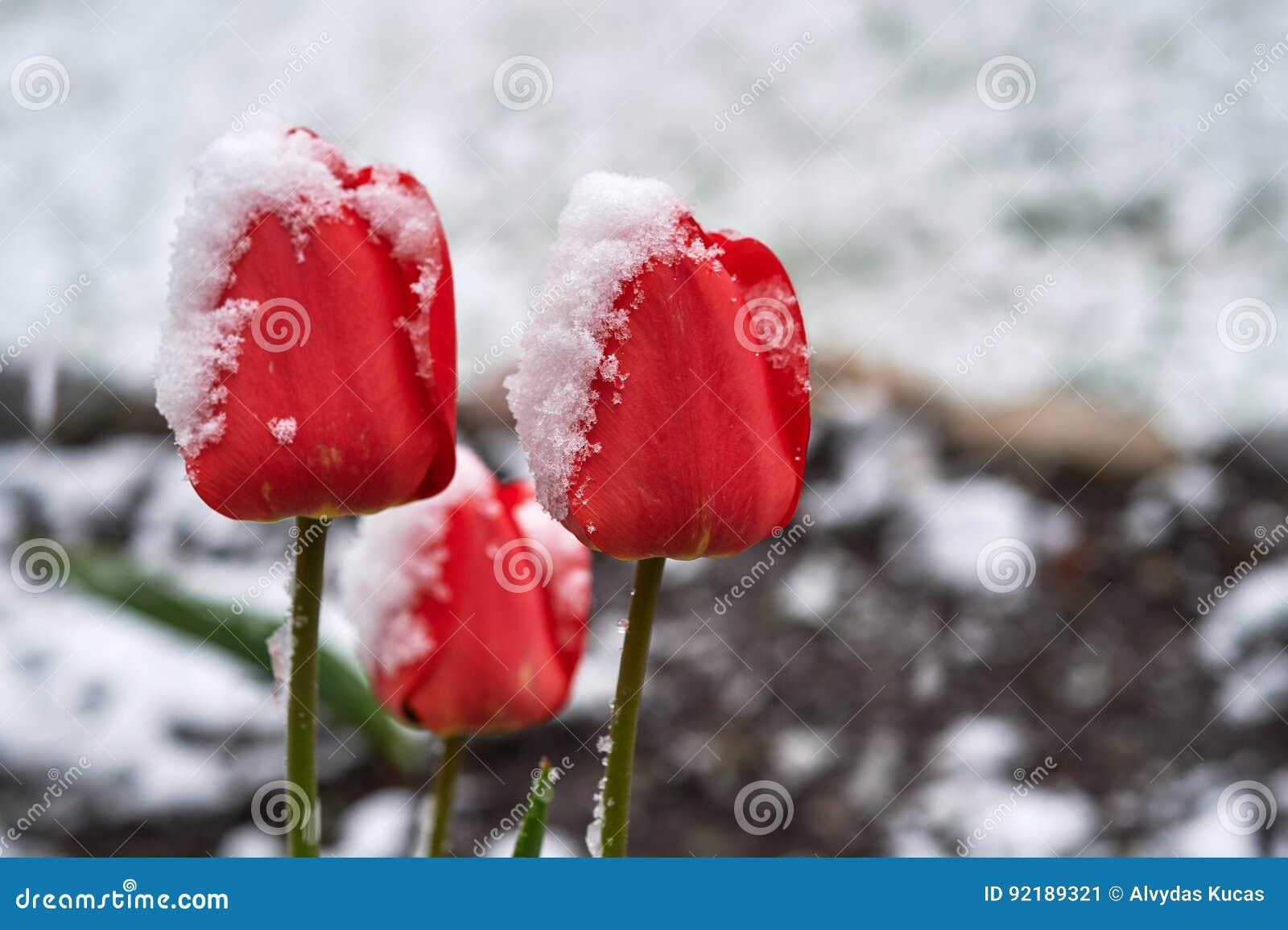 Τουλίπες κάτω από το χιόνι