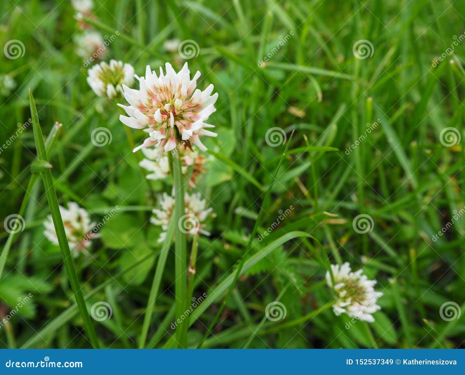 Το άσπρο τριφύλλι ή trefoil ανθίζει Trifolium στενό επάνω στον πράσινο τομέα τριφυλλιού