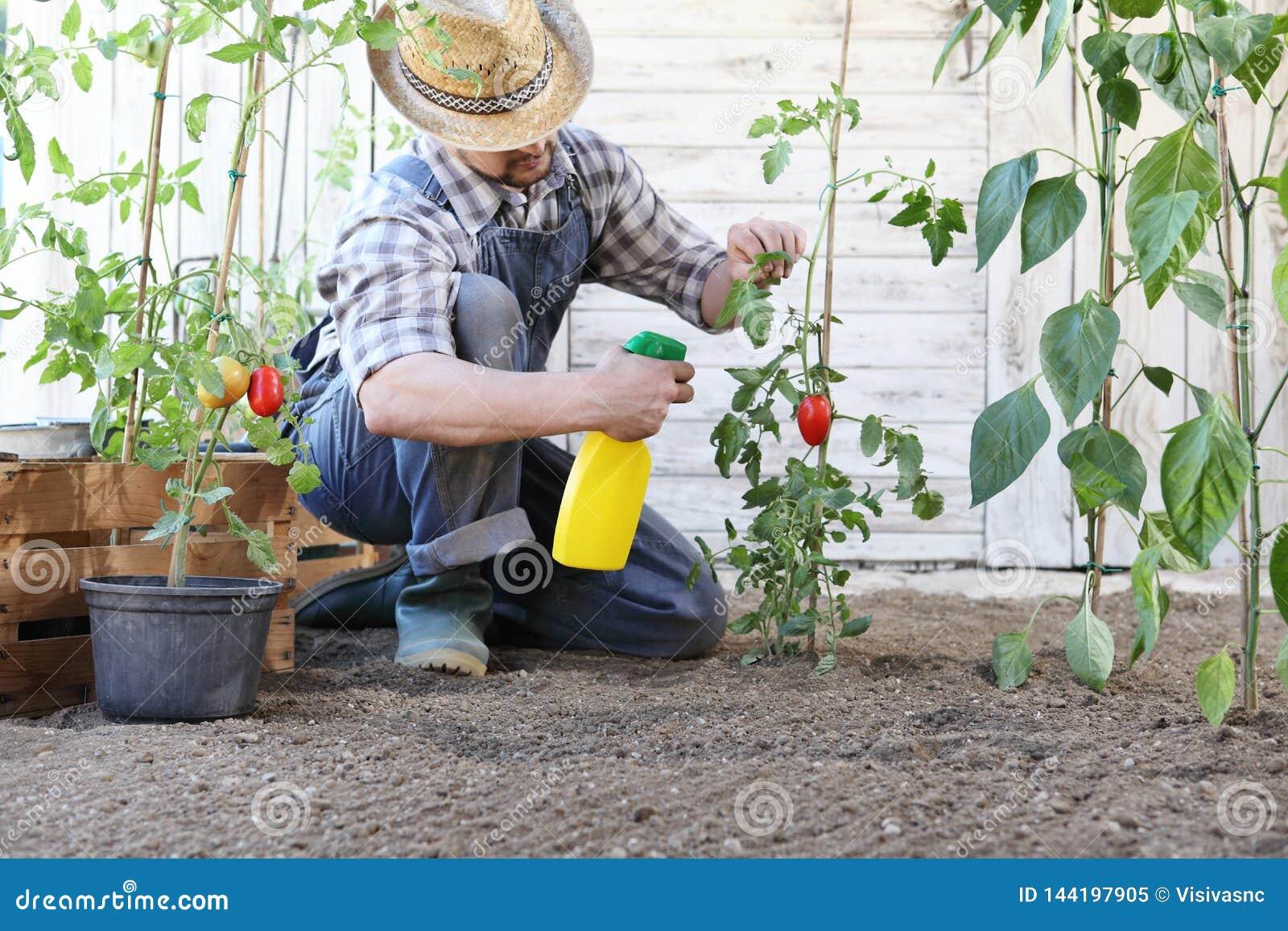 Το άτομο στο φυτικό κήπο ψεκάζει το φυτοφάρμακο στο φύλλο των τοματιών, προσοχή των φυτών