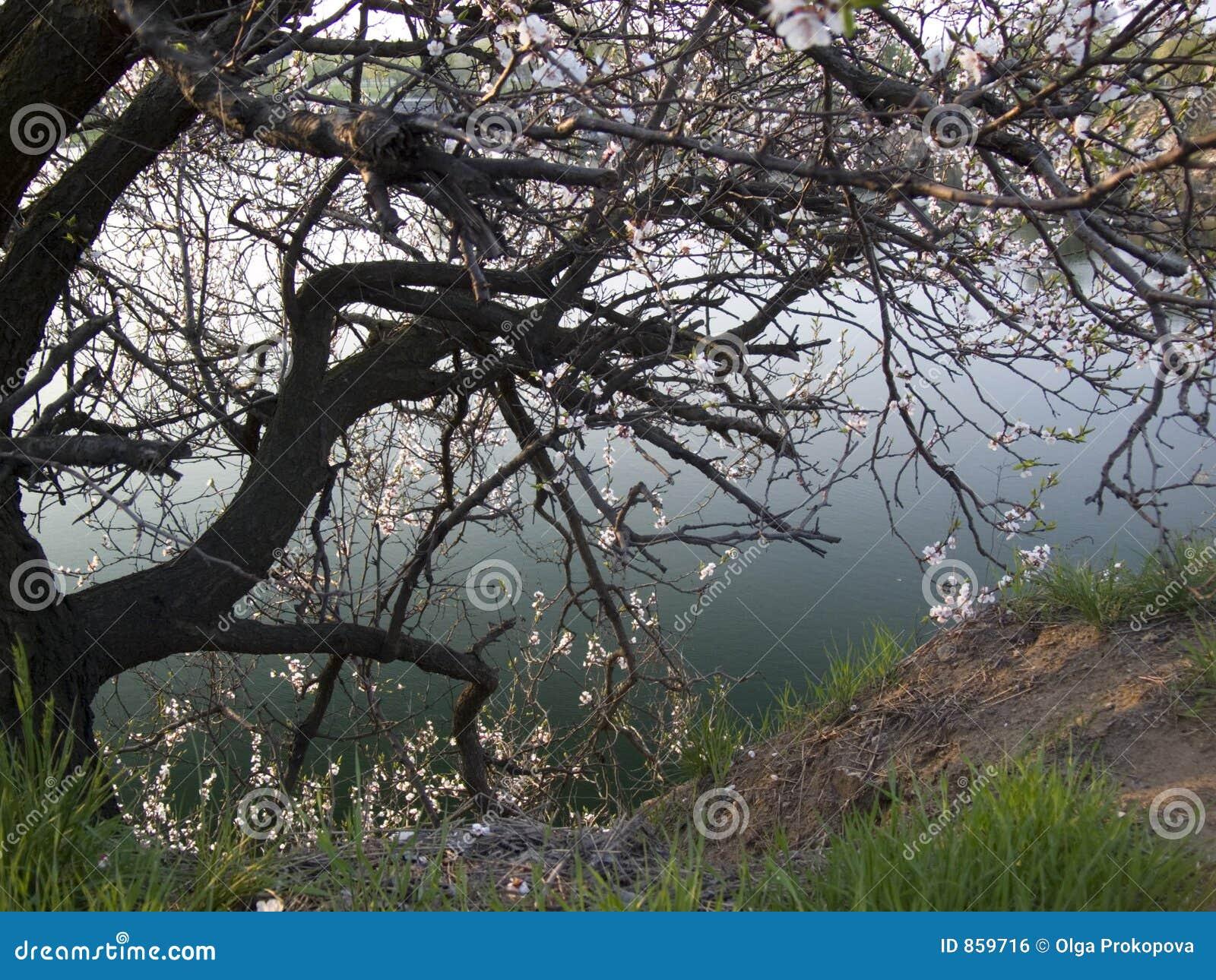 το ανθίζοντας δέντρο
