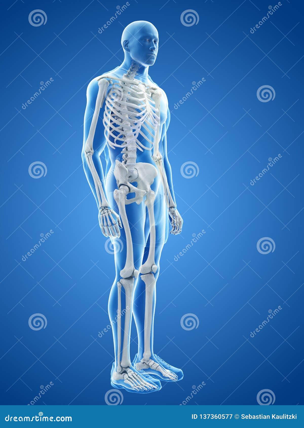 Το ανθρώπινο σκελετικό σύστημα
