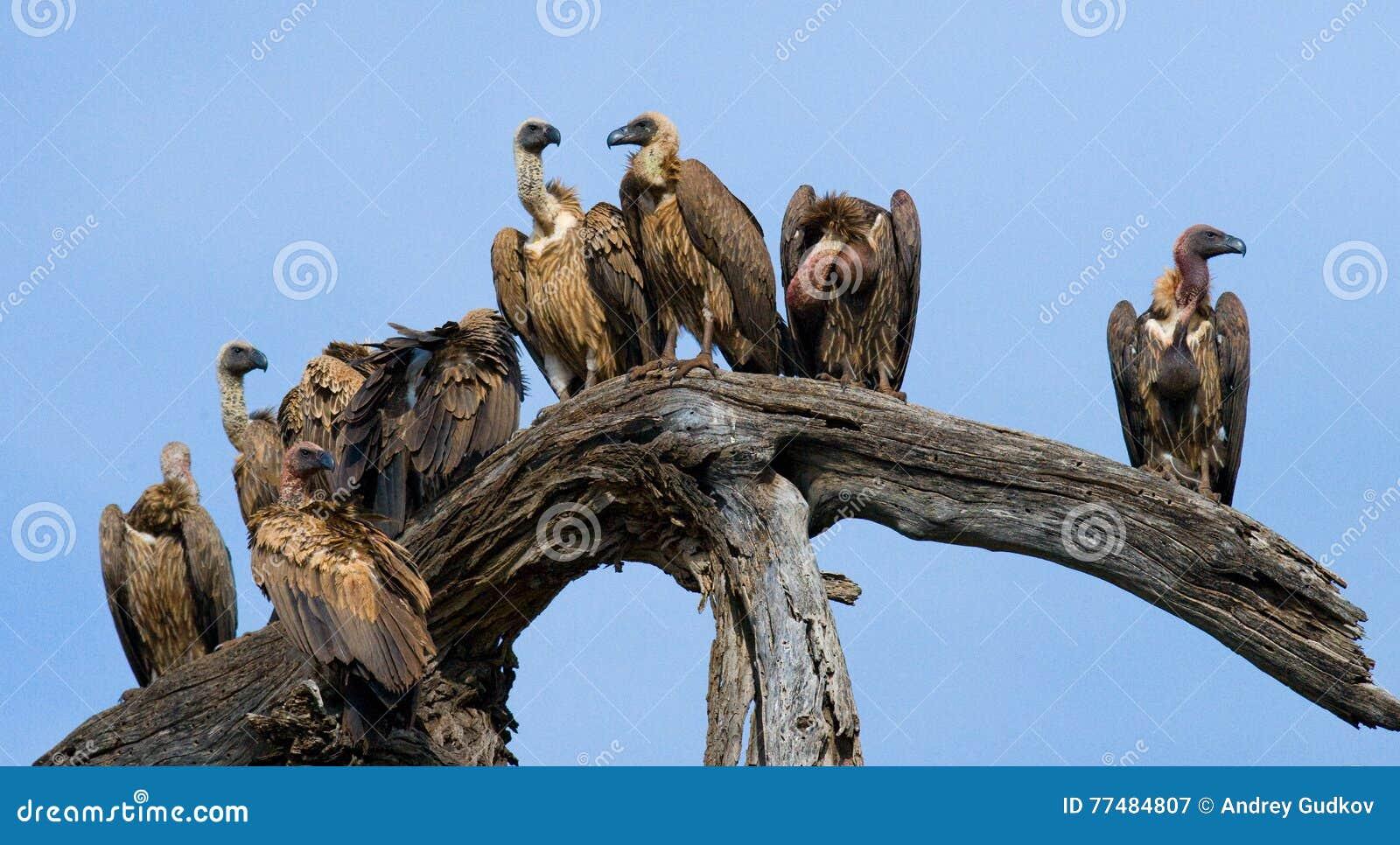 Το αρπακτικό πουλί κάθεται σε ένα δέντρο Κένυα Τανζανία