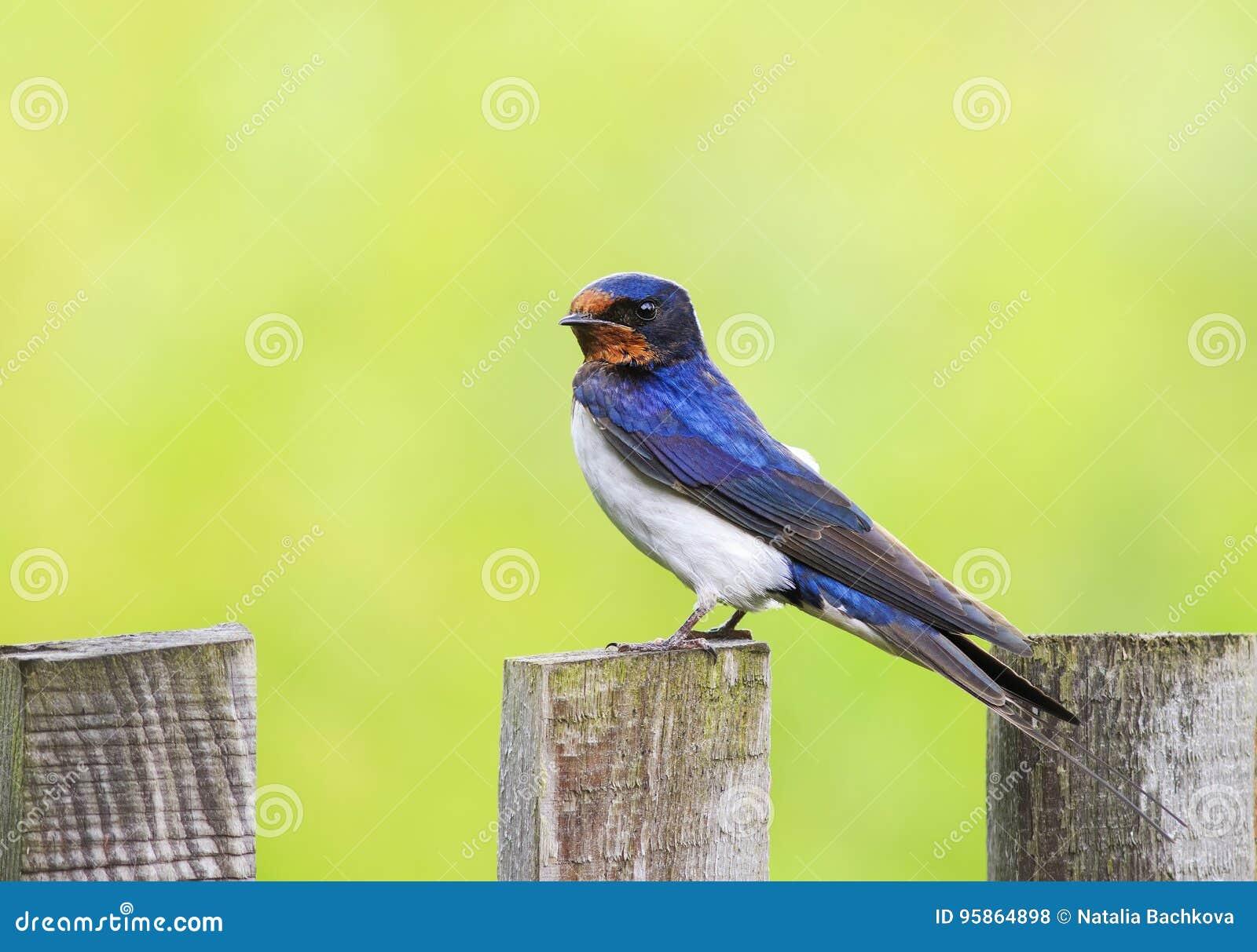 Το αστείο πουλί, η σιταποθήκη καταπίνει κάθεται σε έναν παλαιό ξύλινο φράκτη ι