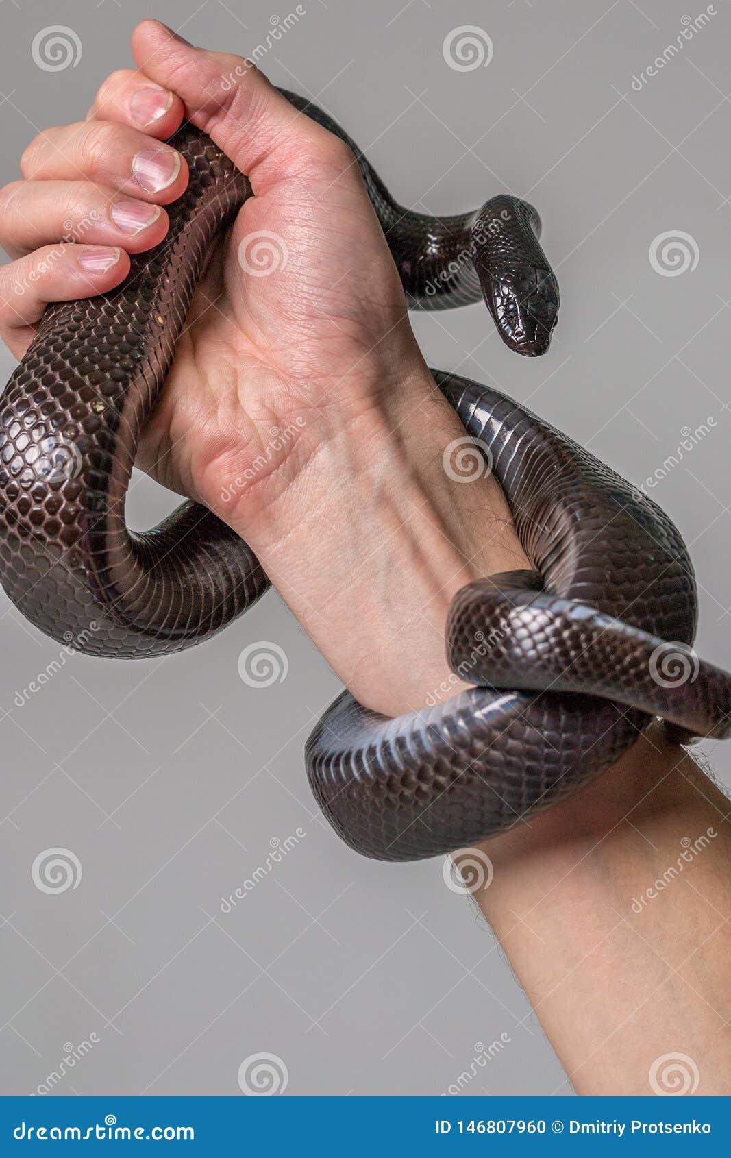 Το βασιλικό φίδι Nigrit περιβάλλει το αρσενικό χέρι Γκρίζο υπόβαθρο Ζώα, ερπετά