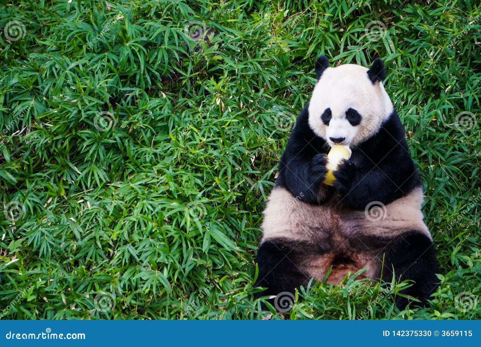 Το γιγαντιαίο panda που τρώει τα τρόφιμα κάποια φρούτα στη μέση του πράσινου λιβαδιού στο σμιθσονιτικό εθνικό ζωολογικό κήπο κάθε