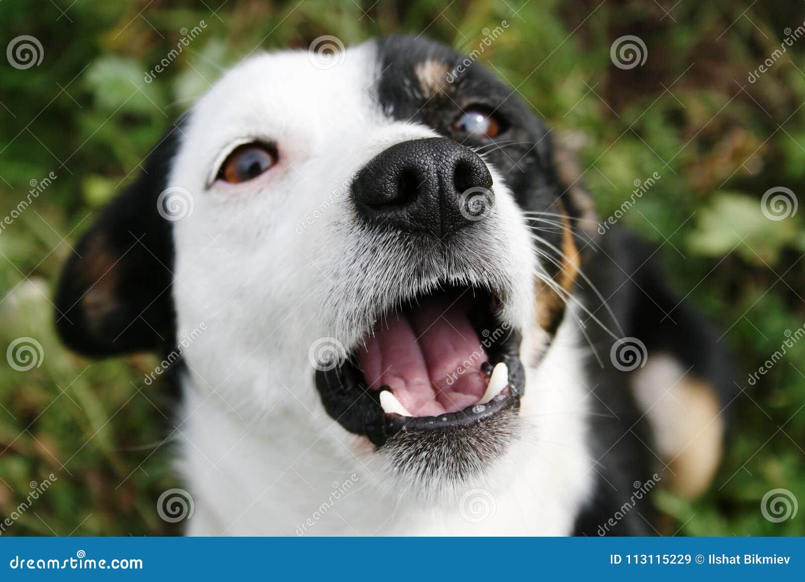 Το γραπτό σκυλί ανοίγει το στόμα του