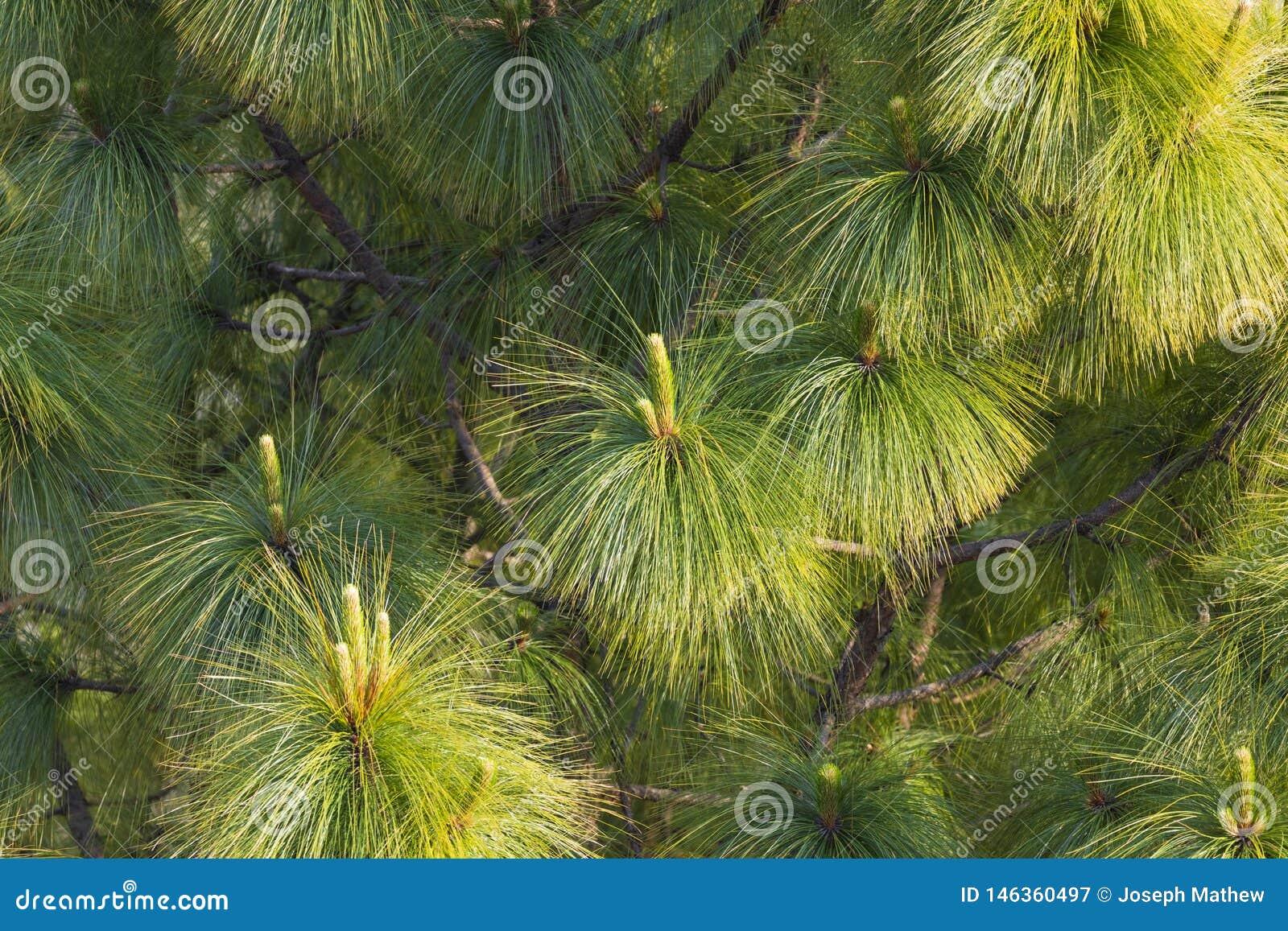 Το δέντρο πεύκων βγάζει φύλλα κοντά επάνω
