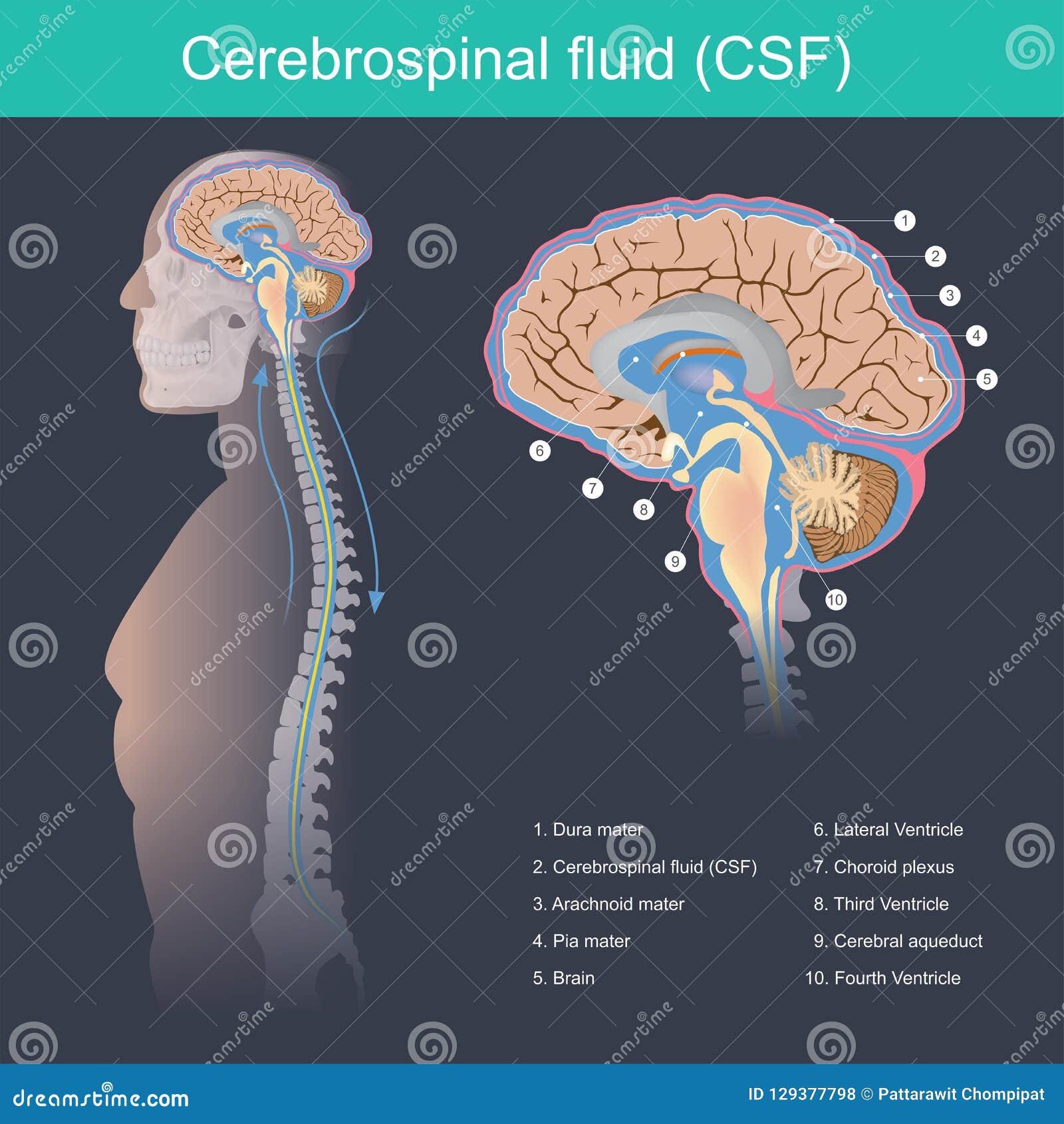 Το εγκεφαλονωτιαί ρευστό ΚΠΣ αυτό προστατεύει τον εγκέφαλο και ο νωτιαίος μυελός από τον αντίκτυπο, αποβάλλει τα απόβλητα από τον