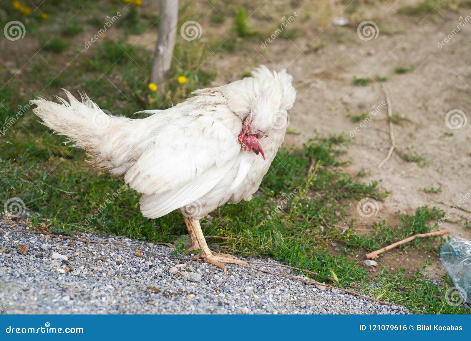 Το ενιαίο άρρωστο άσπρο κοτόπουλο στέκεται και σκέφτεται
