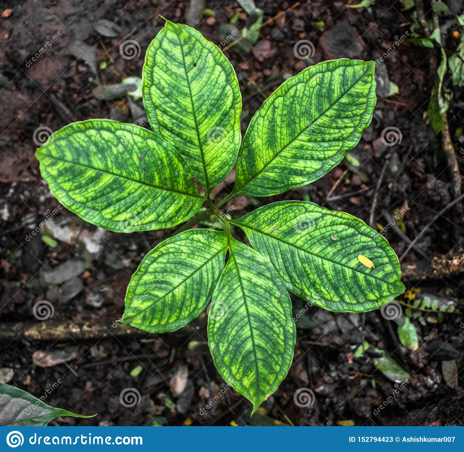 Το επιστημονικό όνομα είναι Arisaema Tortuosum της ποικιλίας neglectum Κοινό χορτάρι ή φυτό κήπων στο φυτικό στάδιο με το σχέδιο