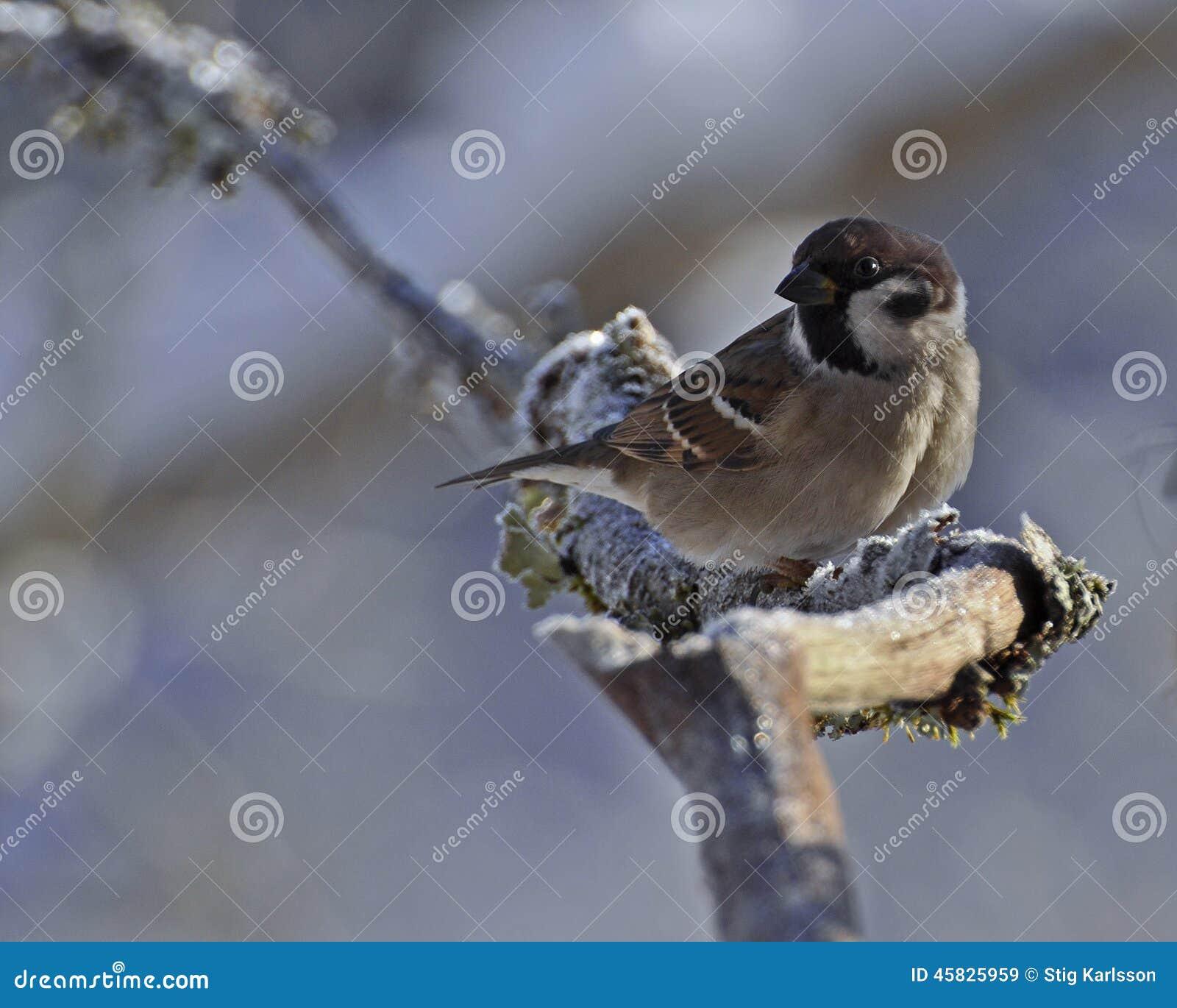 Το ευρασιατικό σπουργίτι δέντρων, montanus πομπών