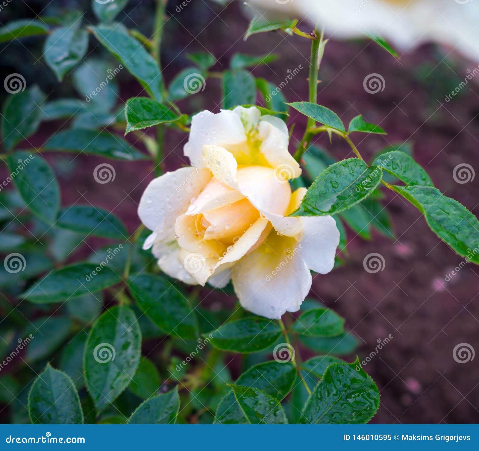 Το ευώδες υβριδικό τσάι κοριτσιών μου αυξήθηκε άσπρο λουλούδι ελεφαντόδοντου
