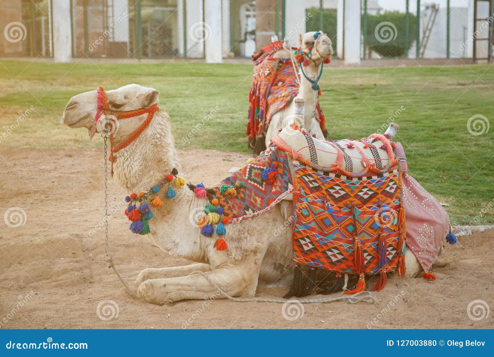 Το ζευγάρι των καμηλών με τις όμορφες πολύχρωμες σέλες βρίσκεται στην άμμο σε μια από τις πόλεις της Αιγύπτου