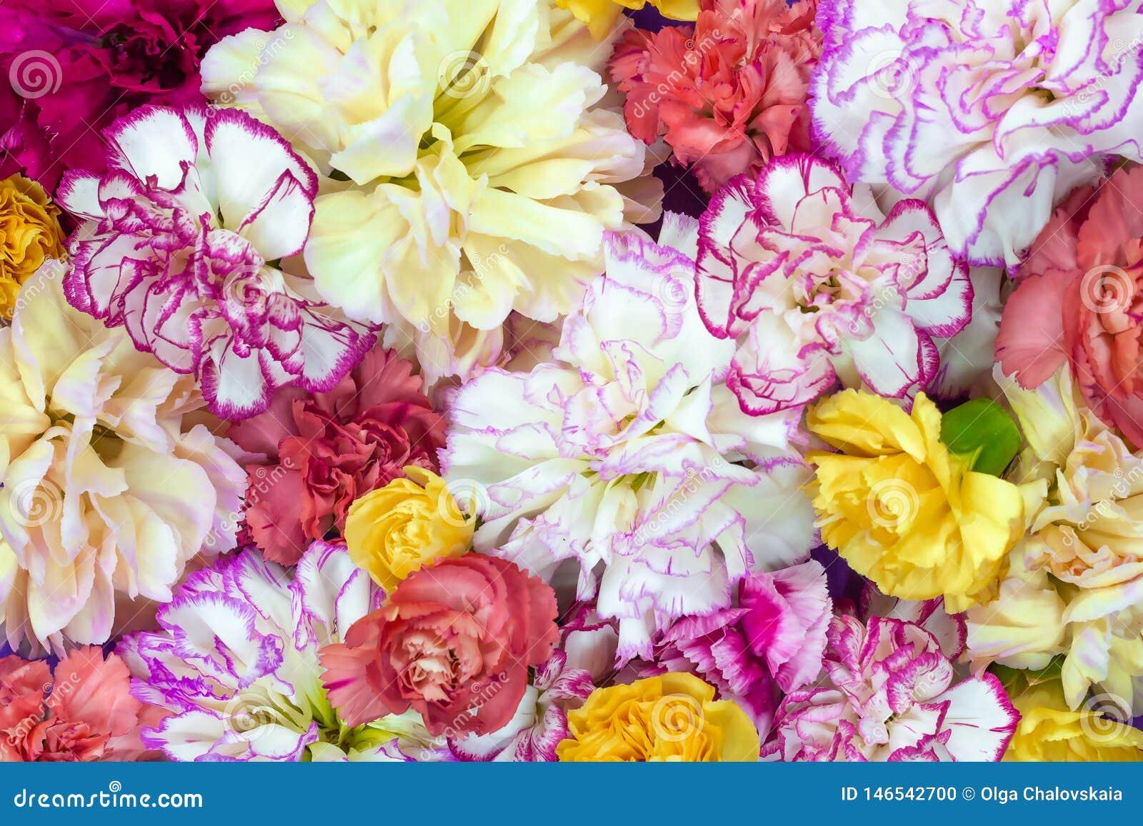 Το ζωηρόχρωμο υπόβαθρο ανθοδεσμών λουλουδιών φιαγμένο από ζωηρόχρωμο γαρίφαλο ανθίζει τον τοίχο για το υπόβαθρο και την ταπετσαρί