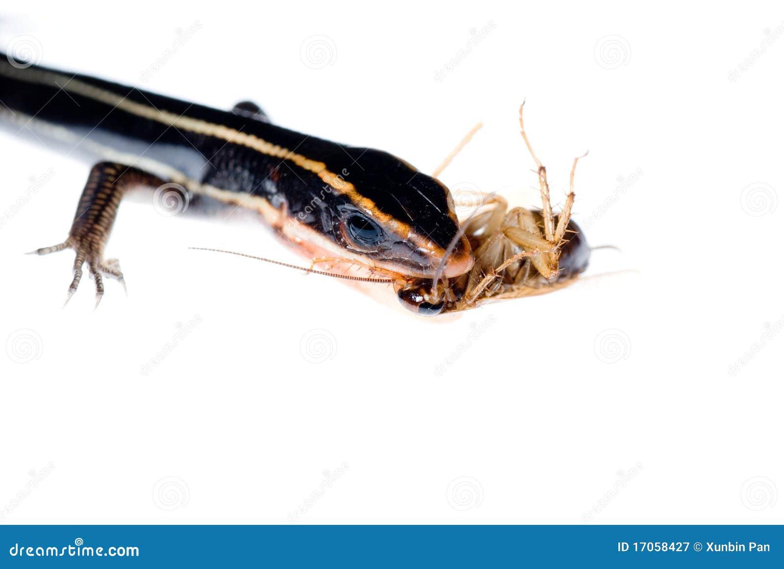 το ζώο τρώει roach σαυρών
