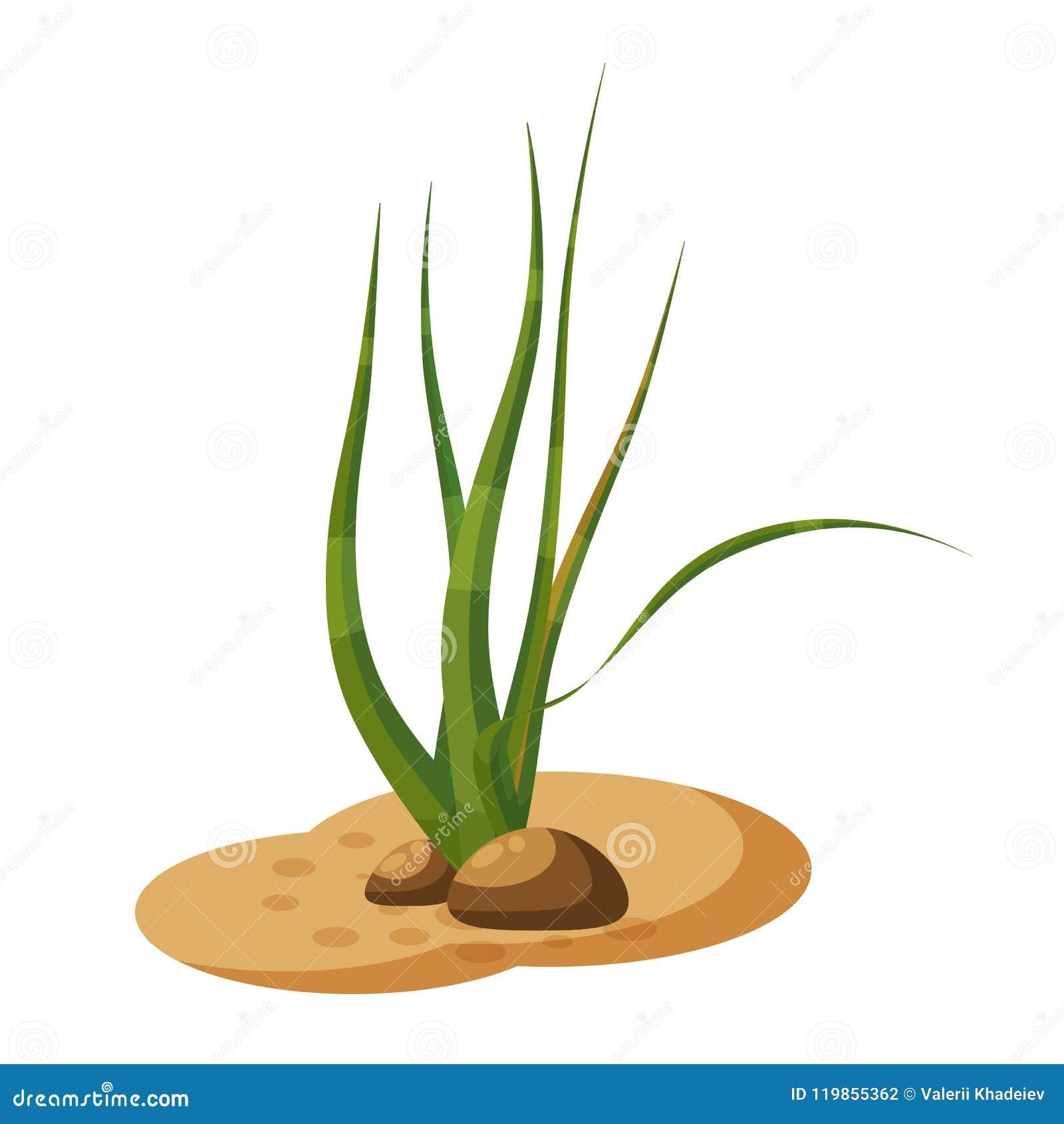 Το θαλάσσιο πράσινο φύκι αλγών, φυτεύει υποβρύχιο, απομονωμένος στο άσπρο υπόβαθρο, διάνυσμα, ύφος κινούμενων σχεδίων