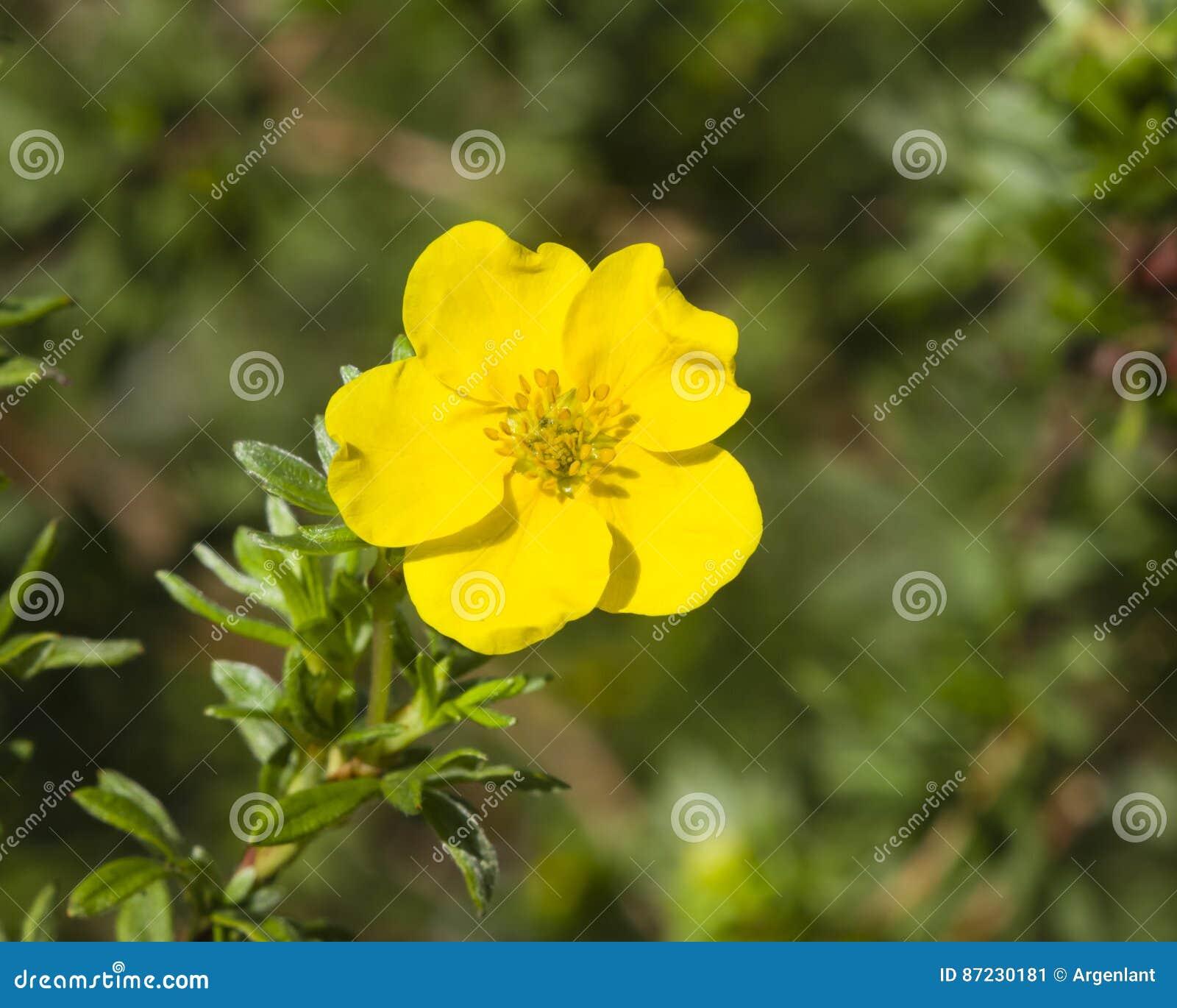 Το θαμνοειδές cinquefoil, Tundra αυξήθηκε, χρυσό hardhack, fruticosa Dasiphora, λουλούδι στο θάμνο, μακρο, εκλεκτική εστίαση