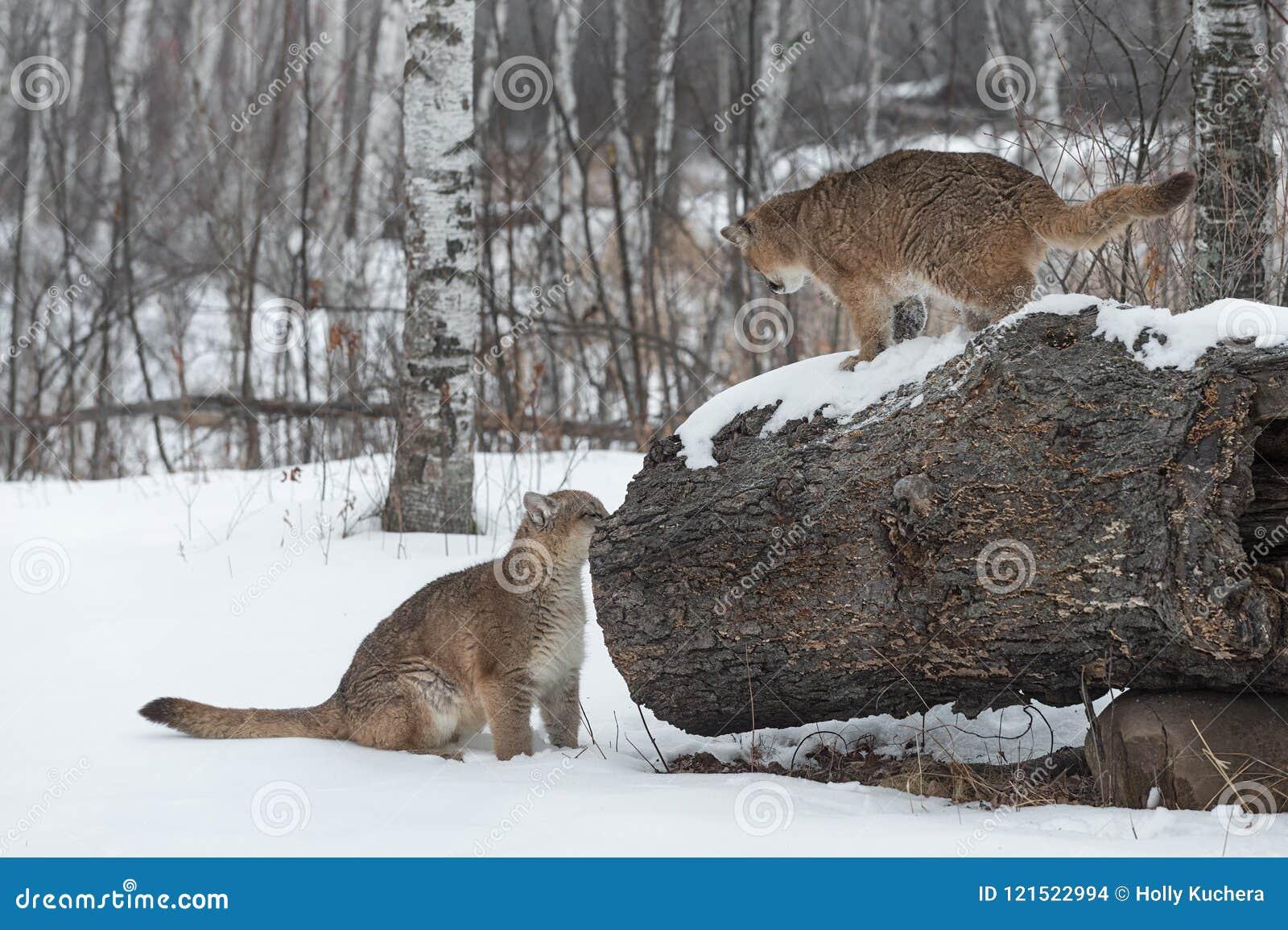 Το θηλυκό concolor Cougars Puma ερευνά το κούτσουρο