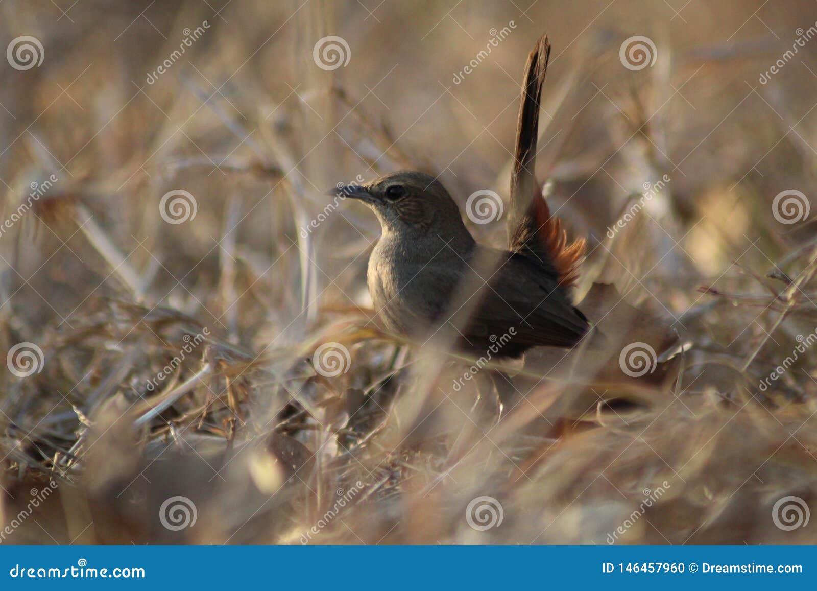 Το ινδικό θηλυκό πουλί της Robin ανήκει στην πόλη hydrabad