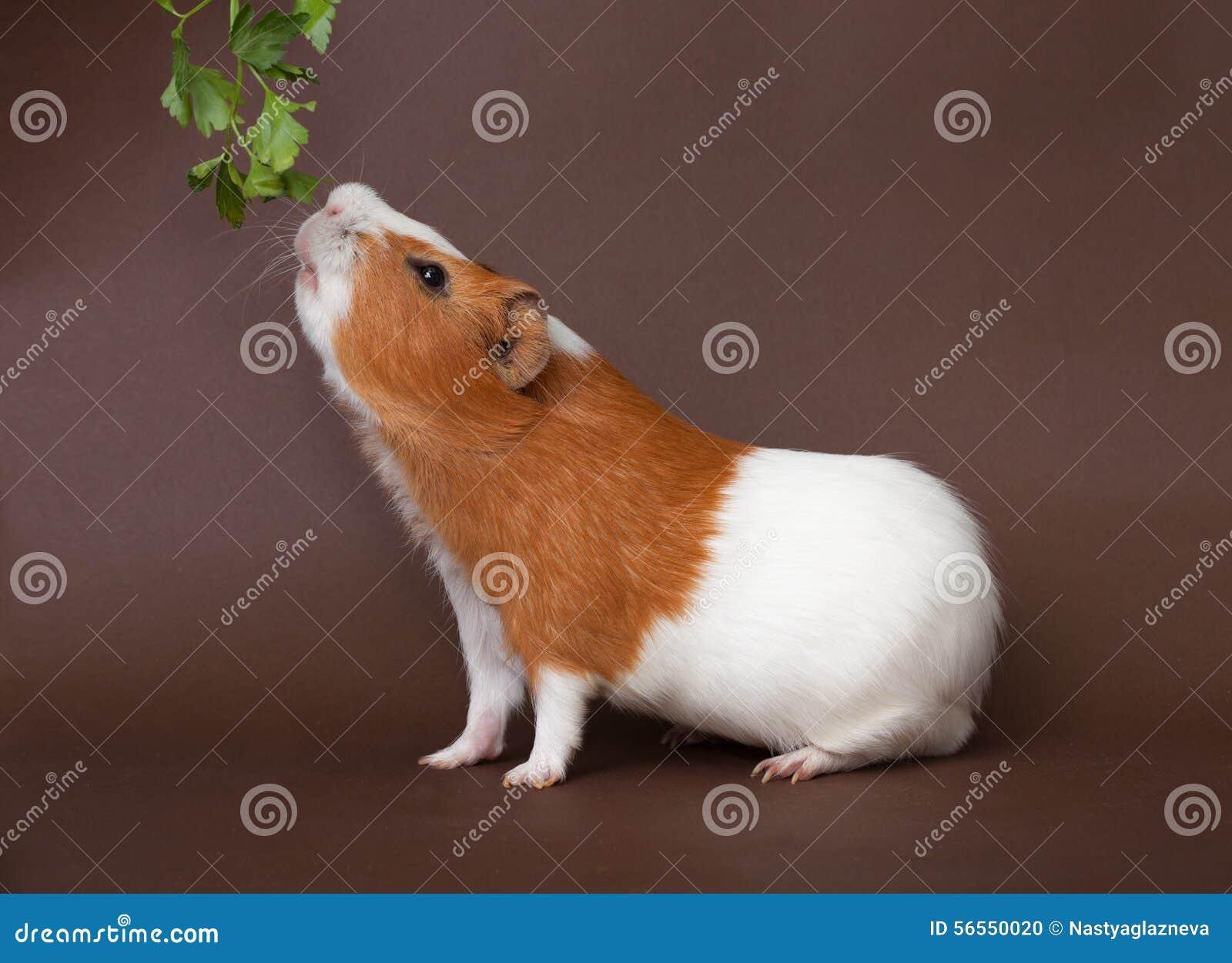 Download Το ινδικό χοιρίδιο μυρίζει Verdure Στοκ Εικόνες - εικόνα από κατανάλωση, γούνα: 56550020