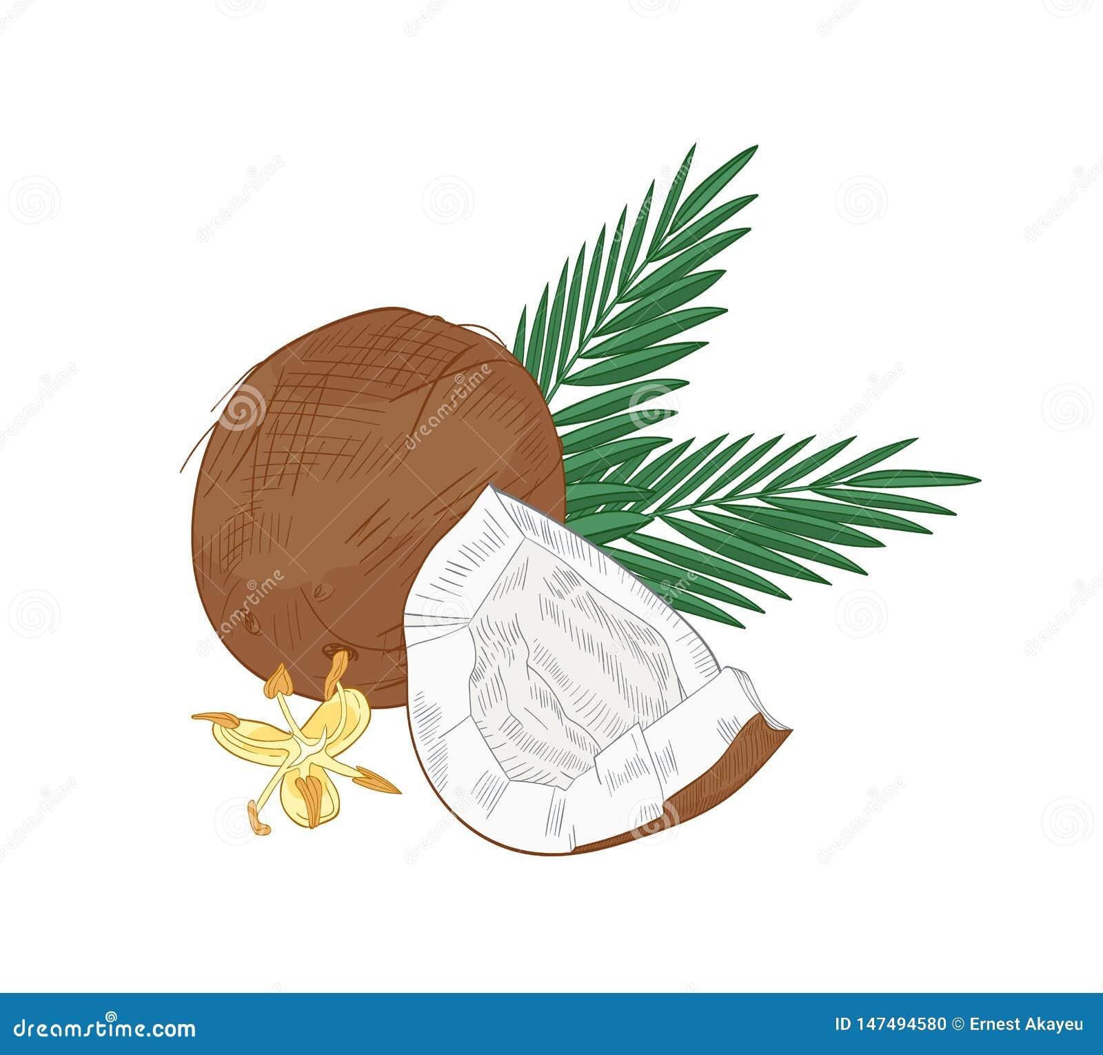Το κομψό φυσικό σχέδιο της ραγισμένης καρύδας, φοίνικας διακλαδίζεται και ανθίζοντας λουλούδια που απομονώνονται στο άσπρο υπόβαθ