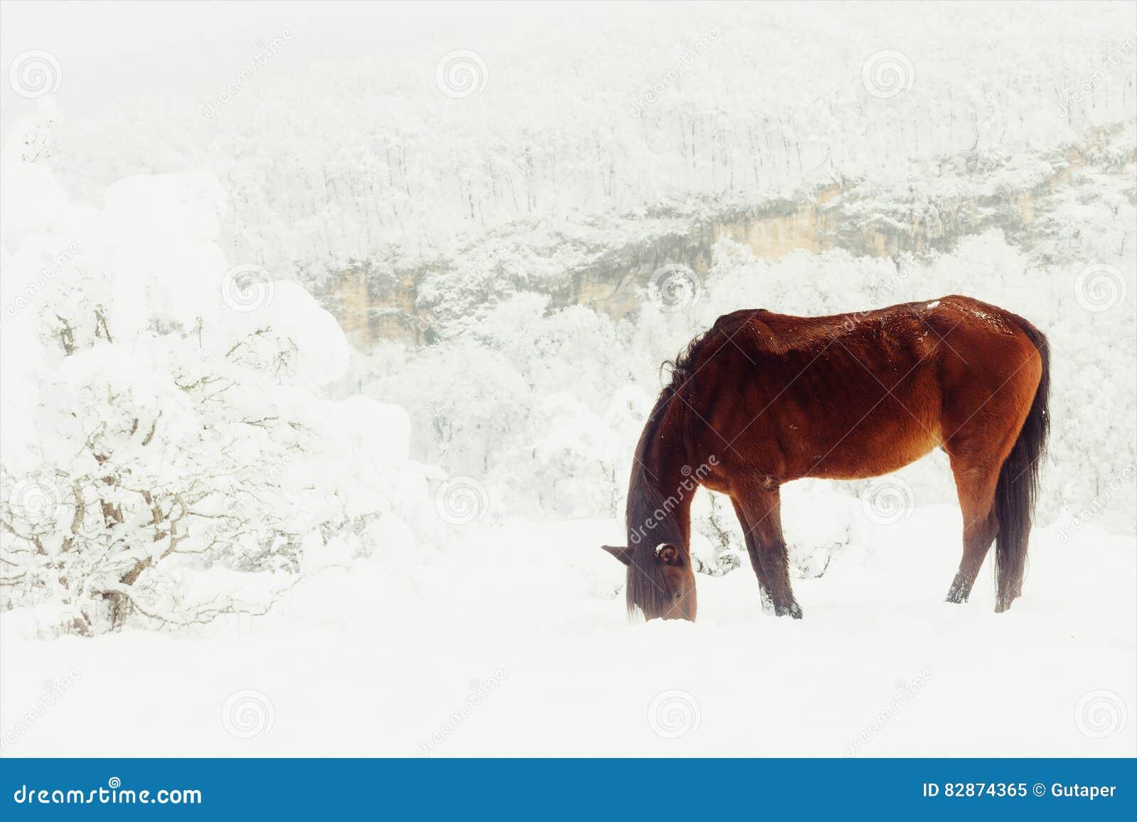 Το κόκκινο άλογο κερδίζει το provender τους από κάτω από το χιόνι σε ένα λιβάδι βουνών