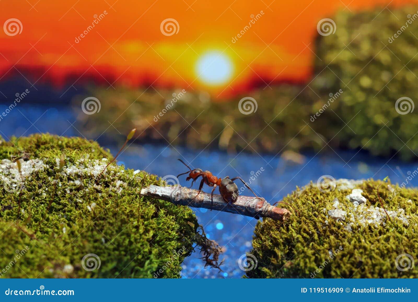 Το κόκκινο μυρμήγκι διασχίζει τον ποταμό σε ένα κούτσουρο