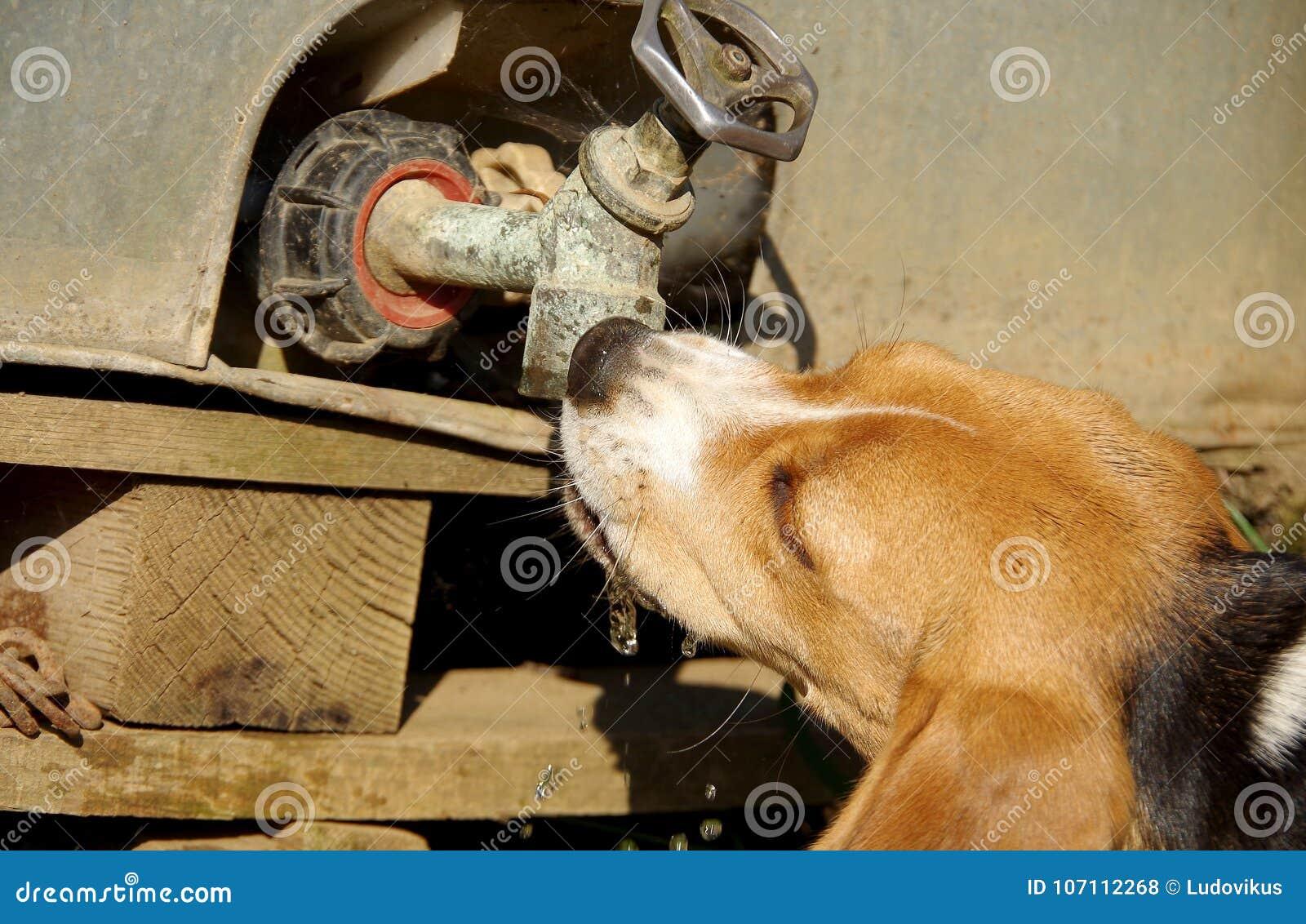 Το λαγωνικό σκυλιών πίνει το νερό