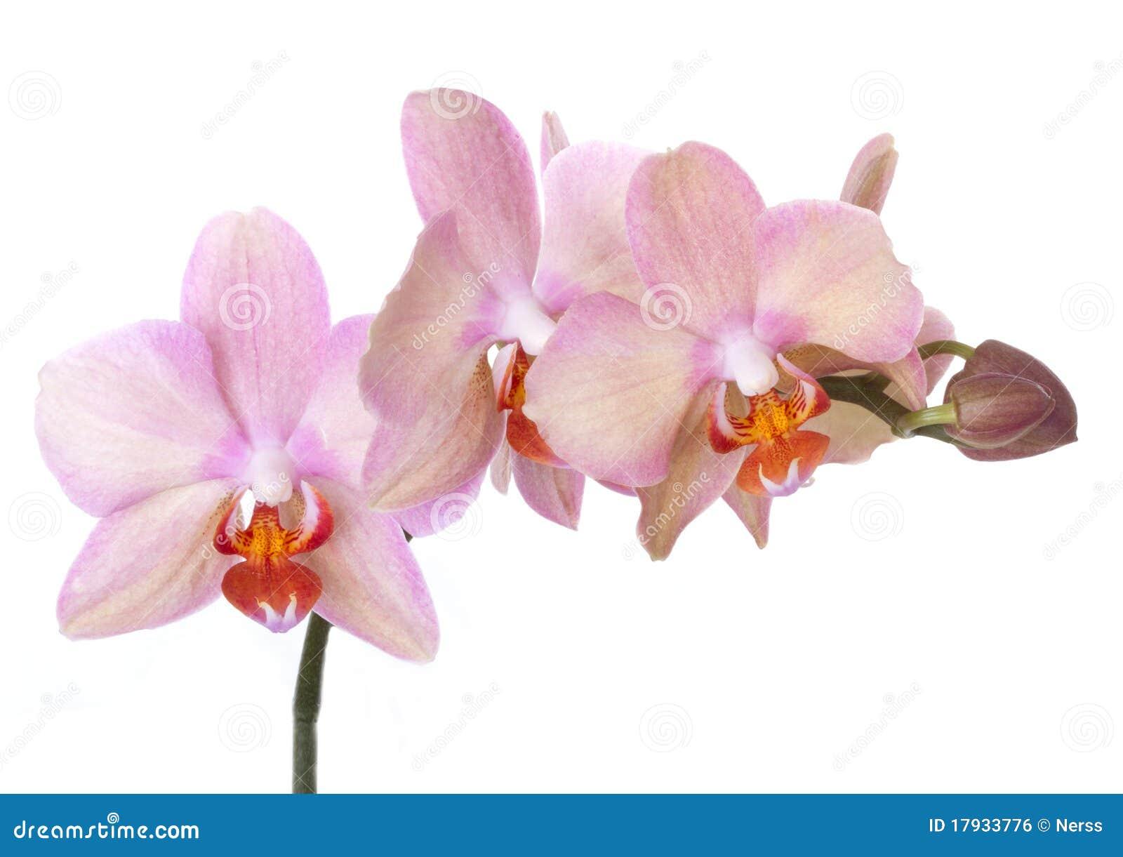 το λουλούδι ανθίζει orchid orchids &