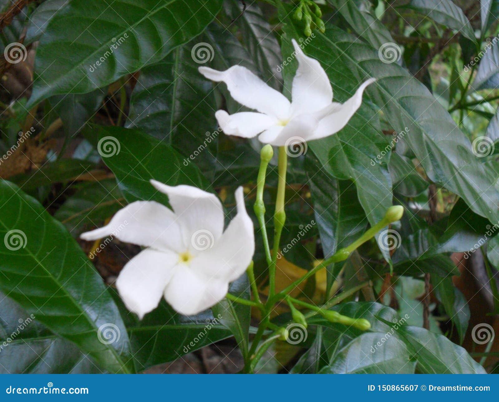 Το λουλούδι είναι σύνολο ομορφιάς στον κήπο μου