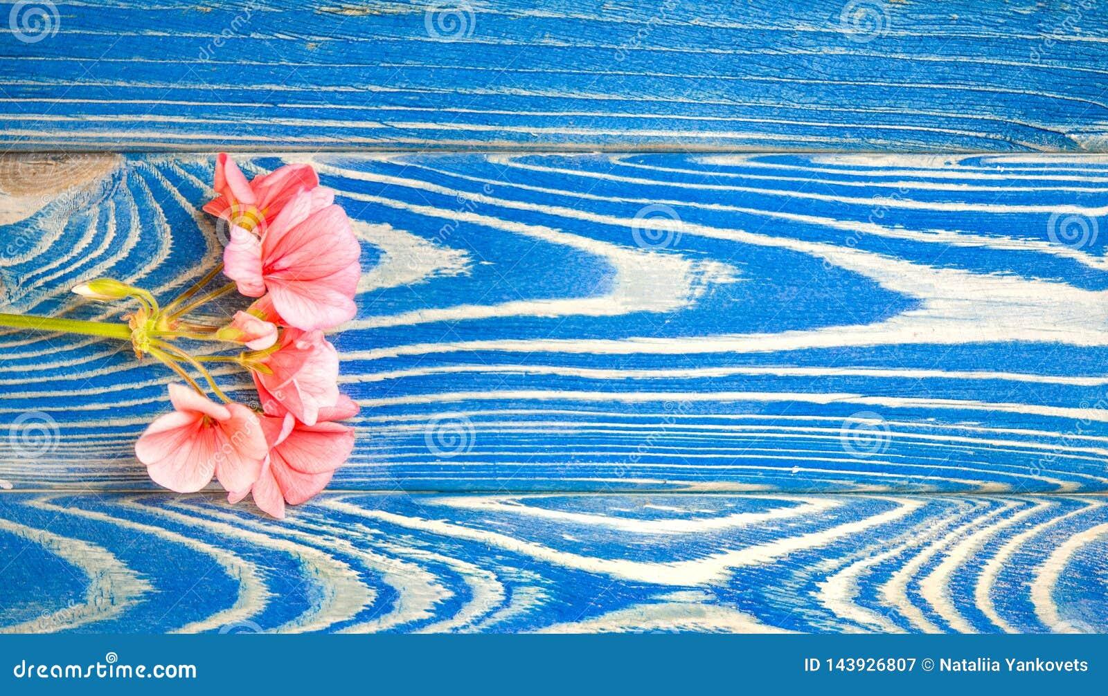 Το λουλούδι ενός γερανιού του χρώματος κοραλλιών βρίσκεται σε ένα άσπρο υπόβαθρο