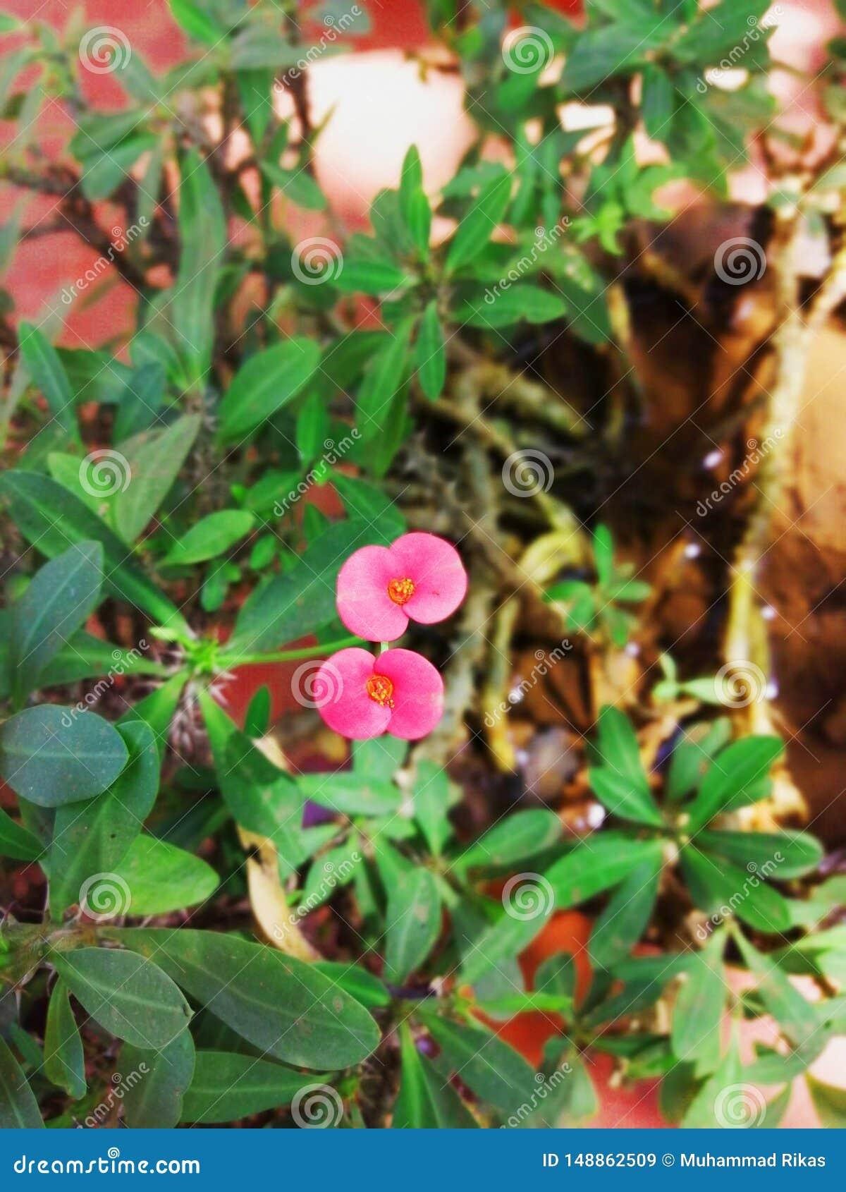 Το λουλούδι της κορώνας των αγκαθιών