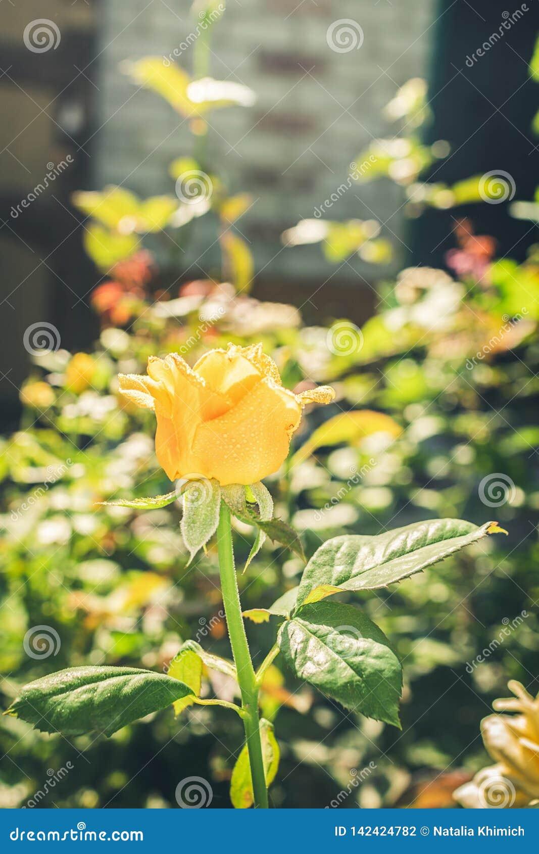 Το λουλούδι φρέσκου κίτρινου αυξήθηκε σε ένα υπόβαθρο των πράσινων φύλλων r