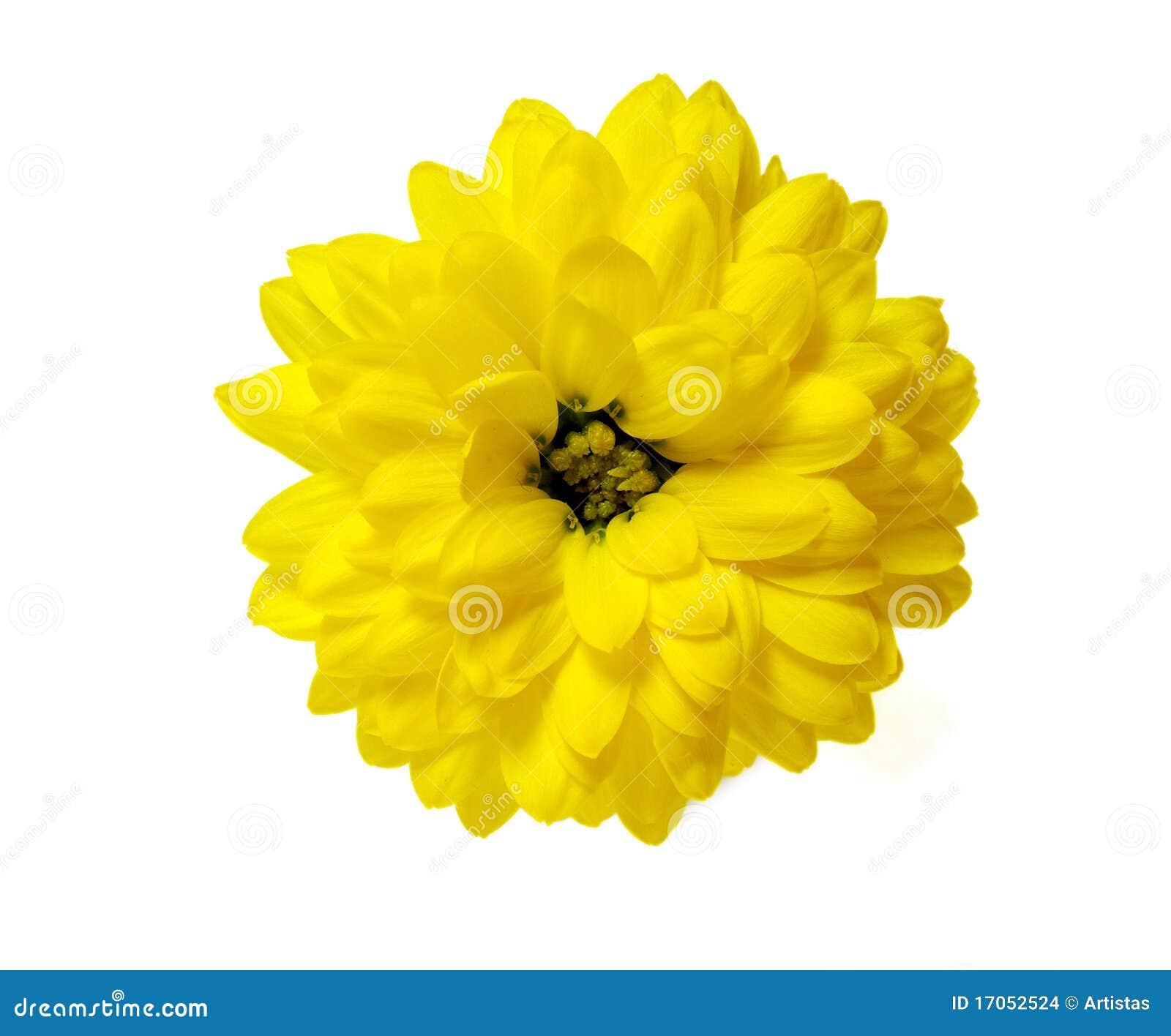 το λουλούδι χρυσάνθεμ&omega