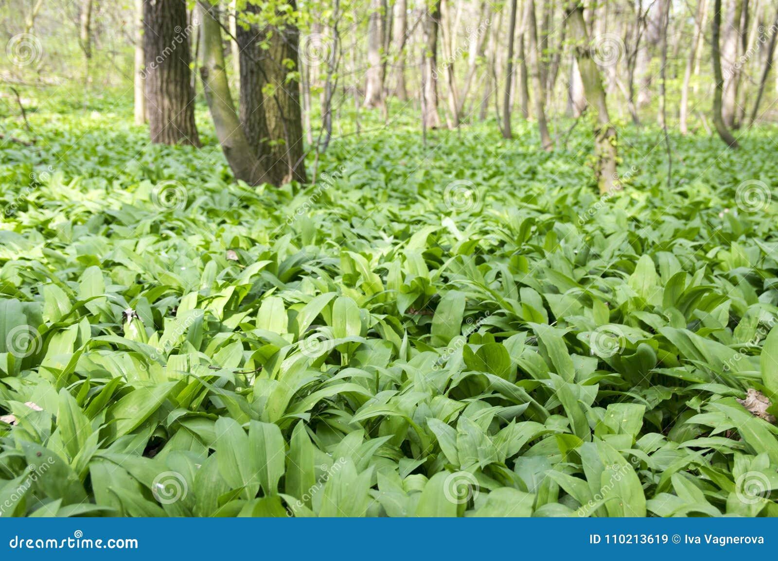 Το μαγικό σύνολο θέσεων φύσης των άγρια περιοχών αντέχει το σκόρδο, πράσινο υπόβαθρο φύλλων