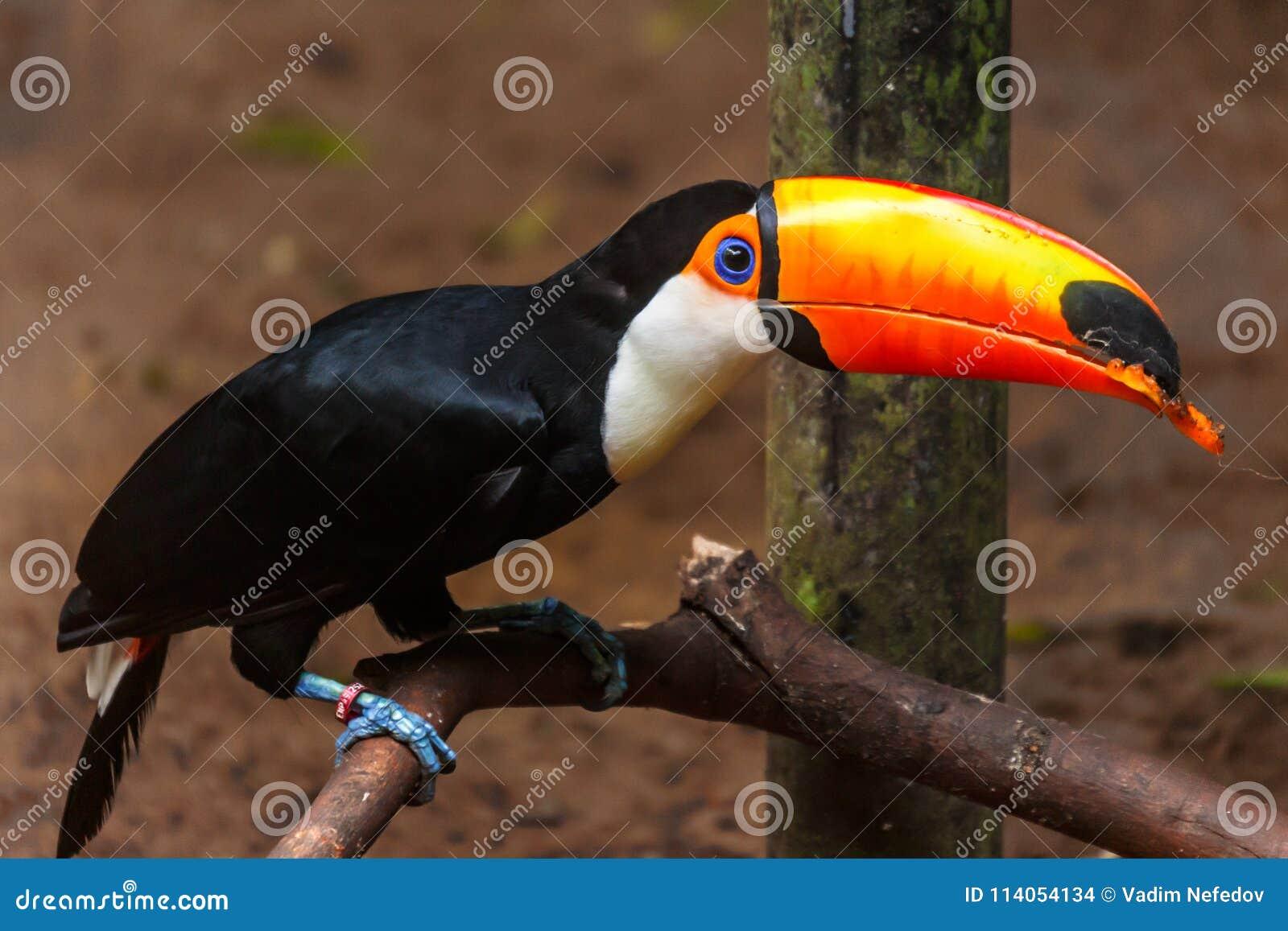 μεγάλο πουλί τρίο γίγαντας μαύρο κώλο πορνό