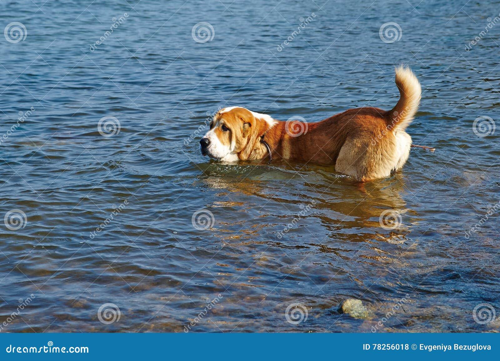 Το μεγάλο σκυλί κολυμπά στη θάλασσα