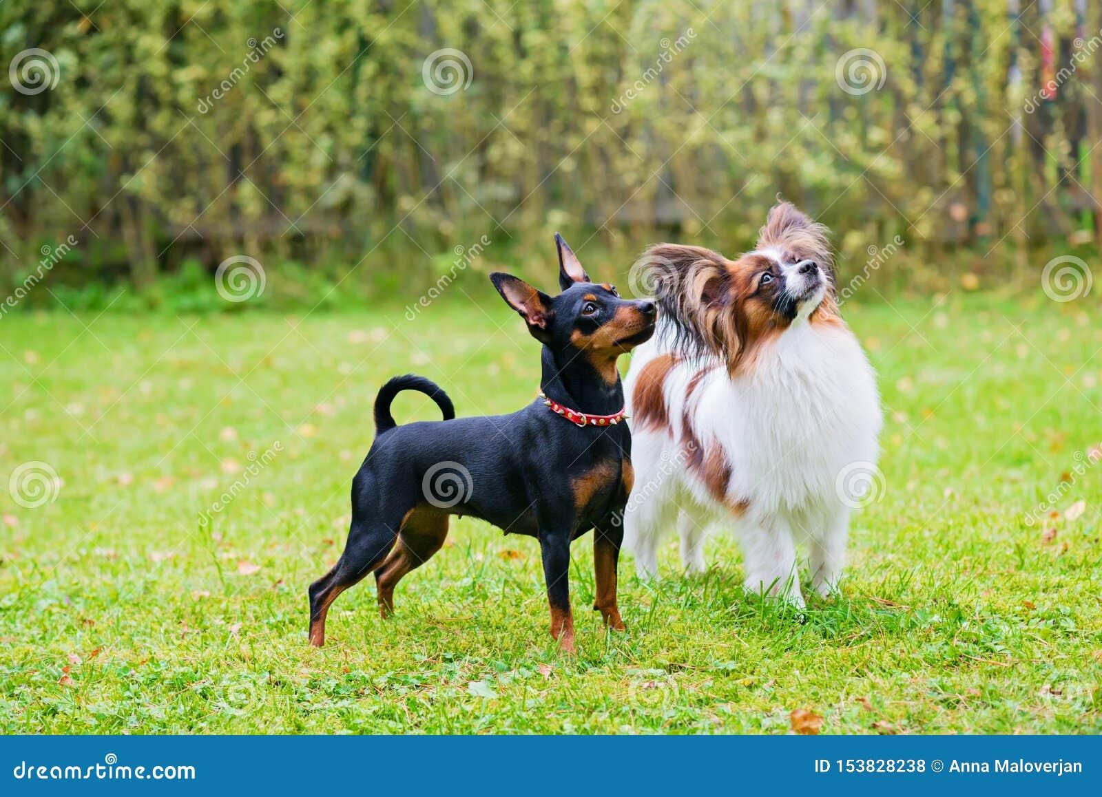Το μικροσκοπικό pinscher και papillon τα σκυλιά