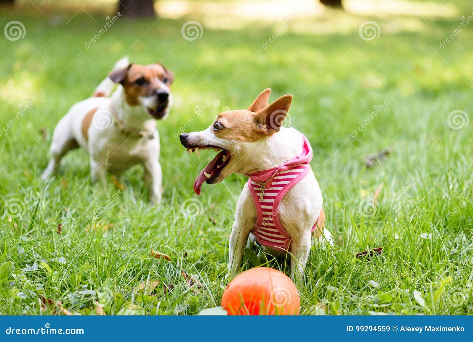 Το μικρό σκυλί υπερασπίζει το παιχνίδι της που παρουσιάζει τους κυνόδοντες και αποφλοίωση