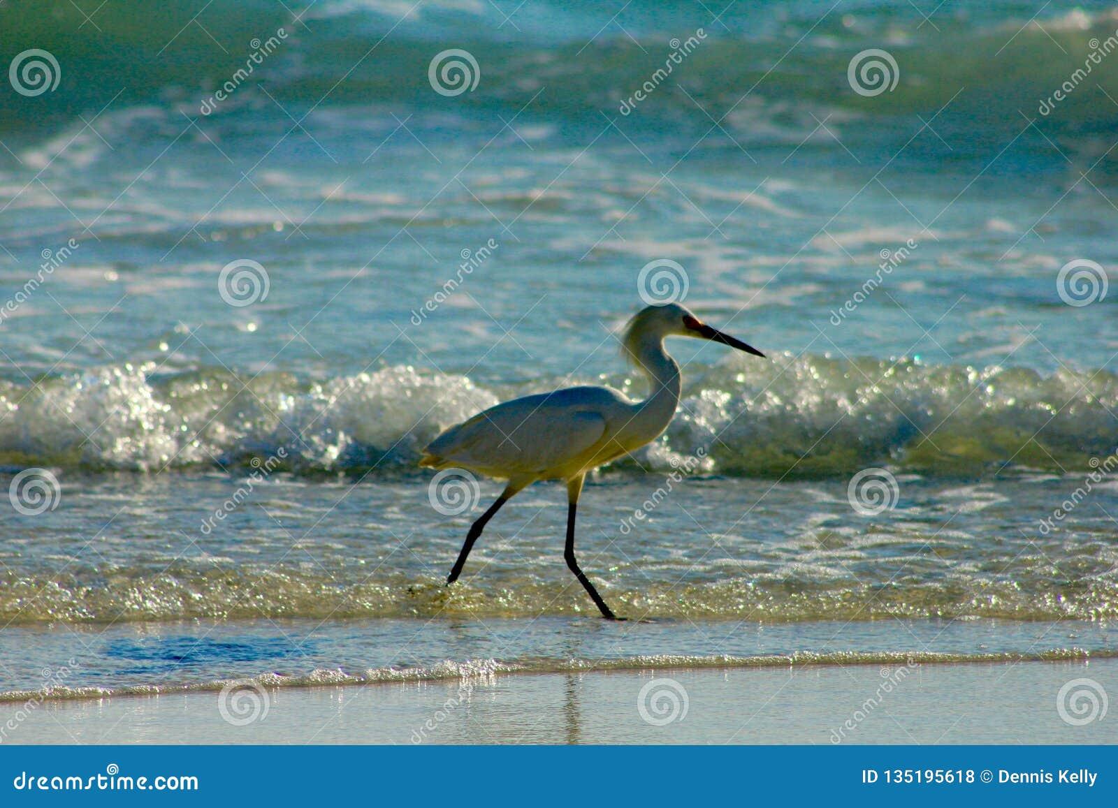 Το νησί της Shell, Φλώριδα που πιάνει το πουλί ψαριών η σύλληψη