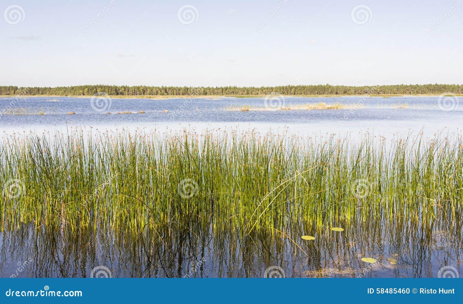Το πανόραμα του πράσινου καλάμου αυξάνεται σε μια λίμνη