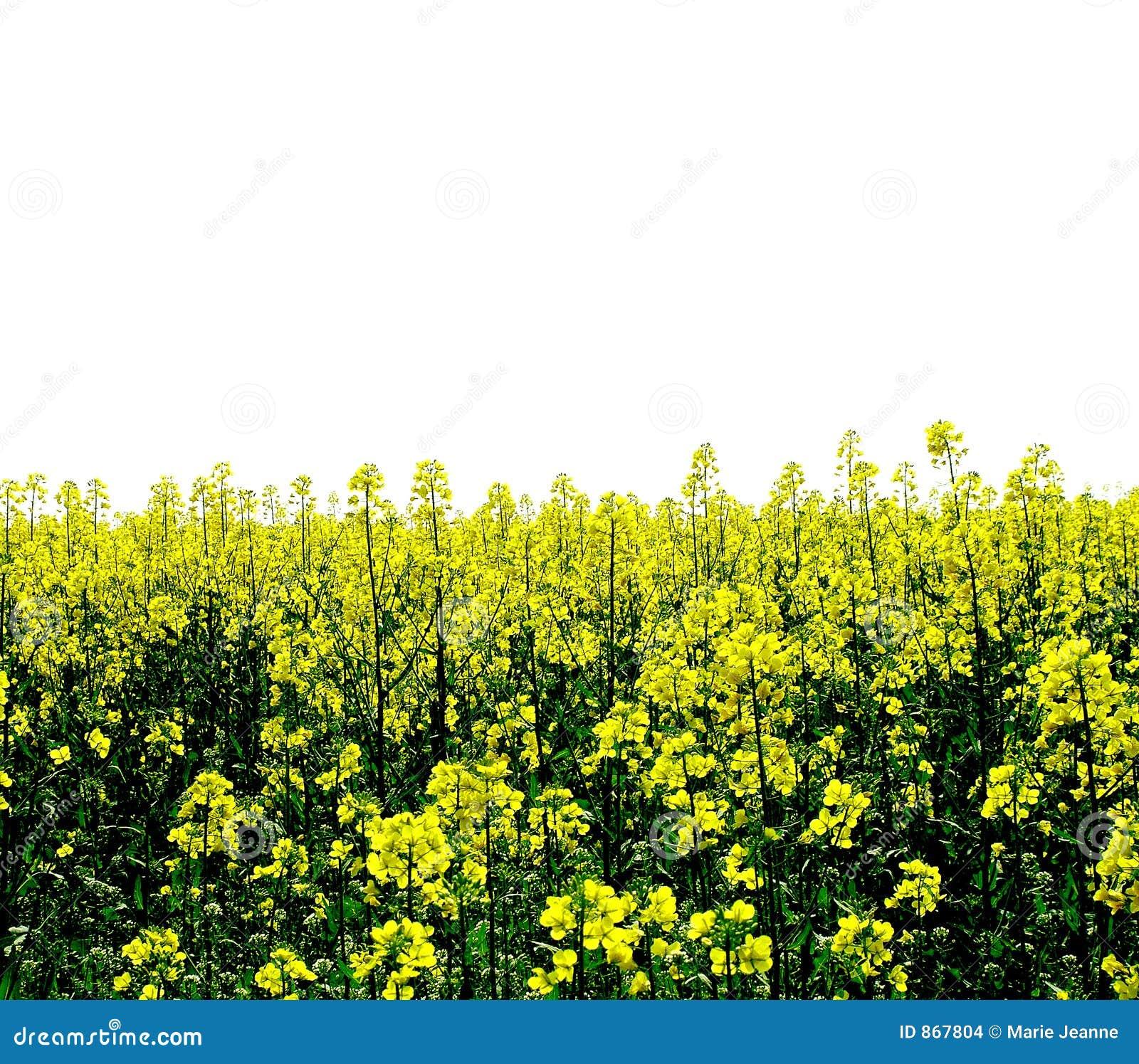 το πεδίο ανθίζει κίτρινο