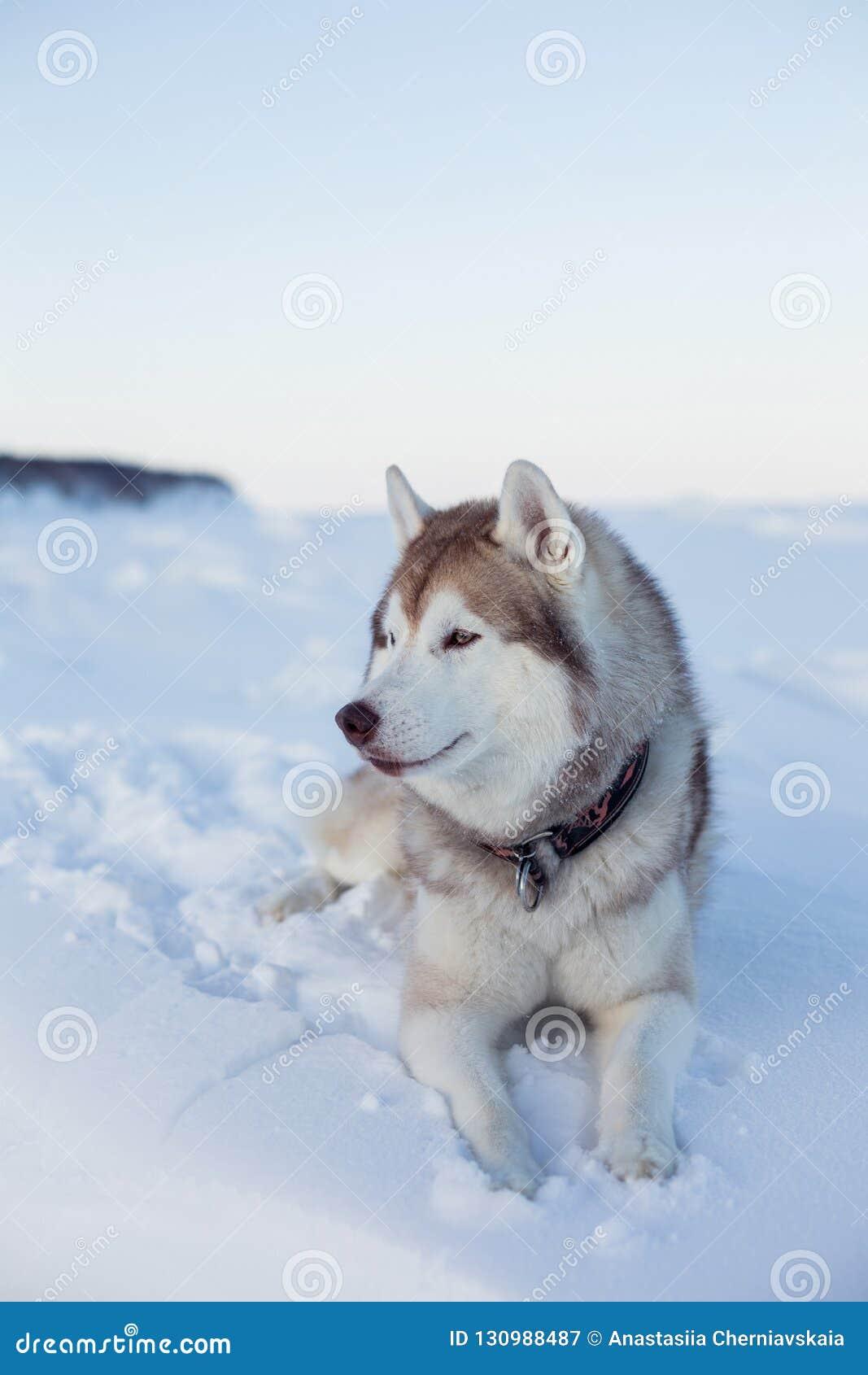 Το πορτρέτο σχεδιαγράμματος της πανέμορφης φυλής σκυλιών γεροδεμένης βρίσκεται στο χιόνι στο ηλιοβασίλεμα και εξετάζει την απόστα