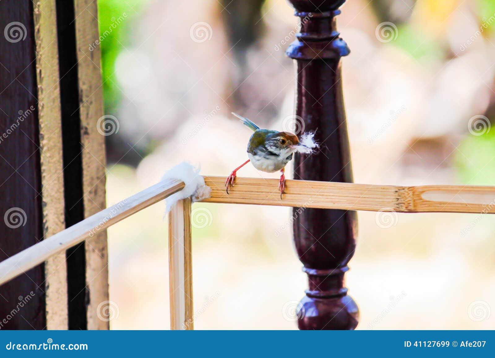 Το πουλί μητέρων παίρνει τη σφαίρα βαμβακιού για να κάνει τη φωλιά