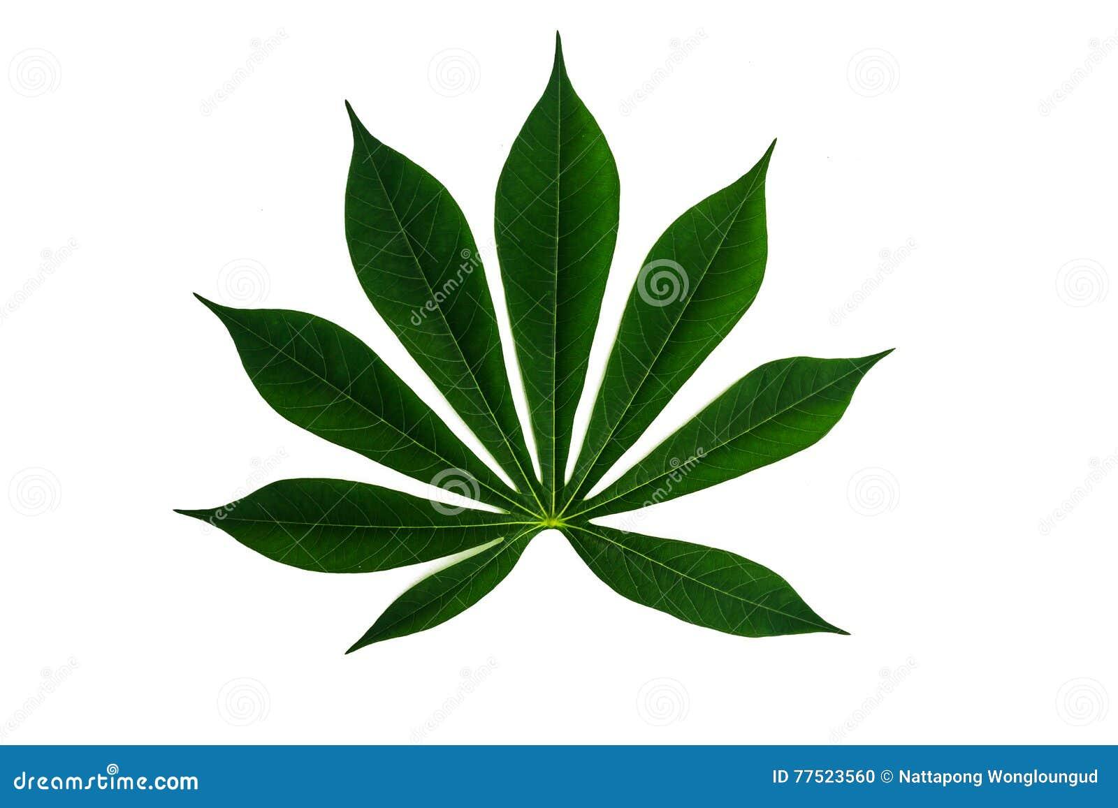 Το πράσινο φύλλο μανιόκων απομόνωσε το άσπρο υπόβαθρο