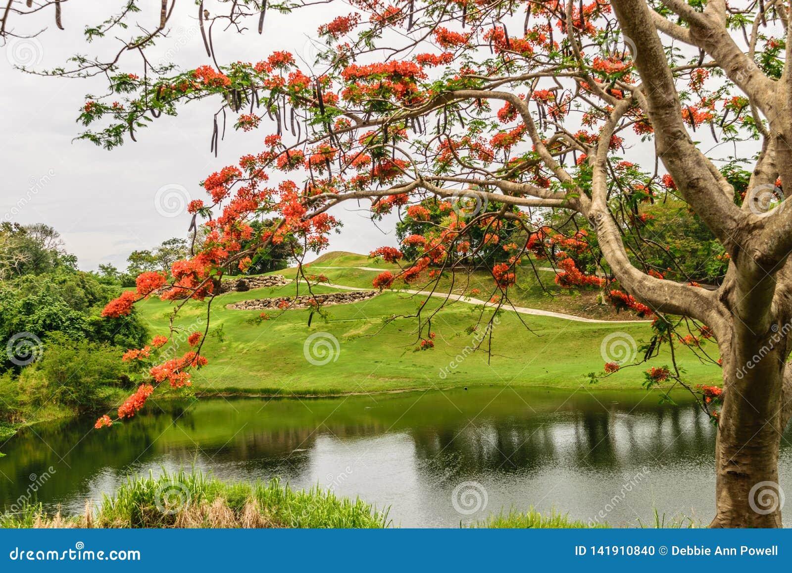 Το προστατευόμενο δέντρο Delonix Regia Poinciana κάλεσε επίσης το δέντρο φλογών